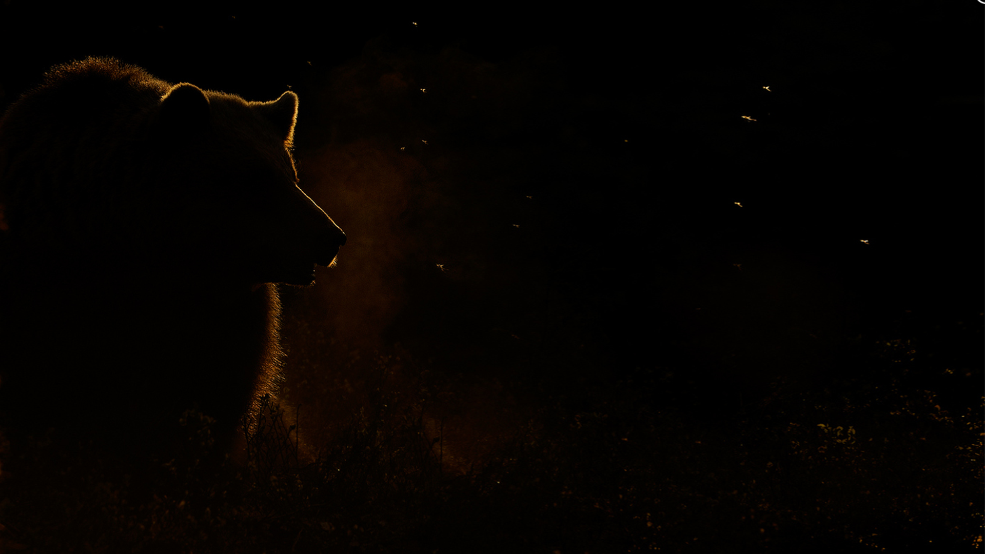 Black Bear For Desktop