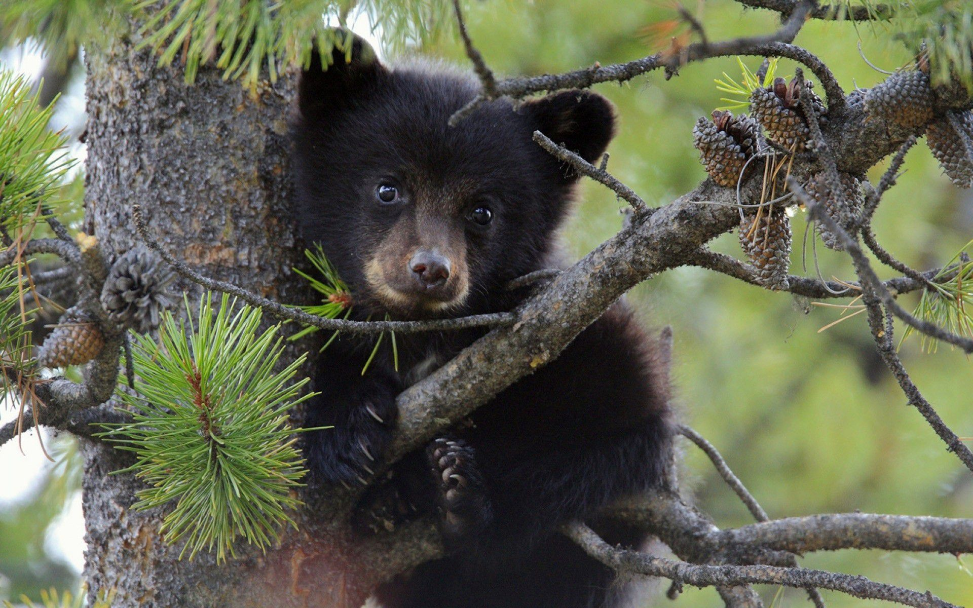 Black Bear Tumblr