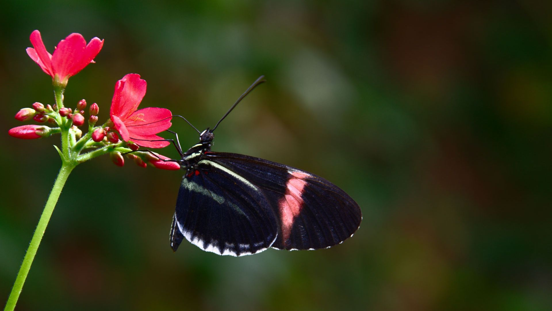 Black Butterfly High Definition Wallpapers