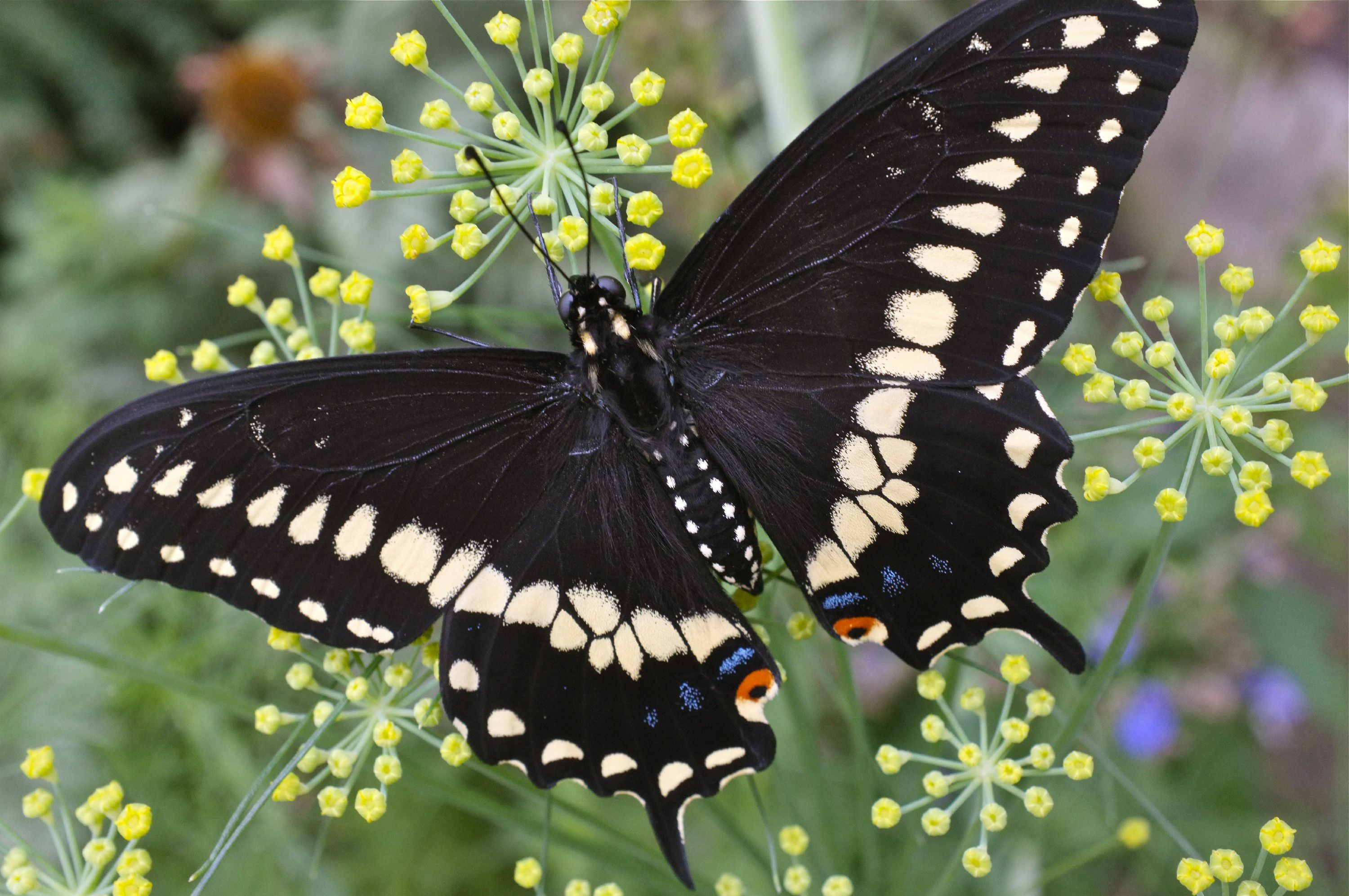 Black Butterfly High Quality Wallpapers