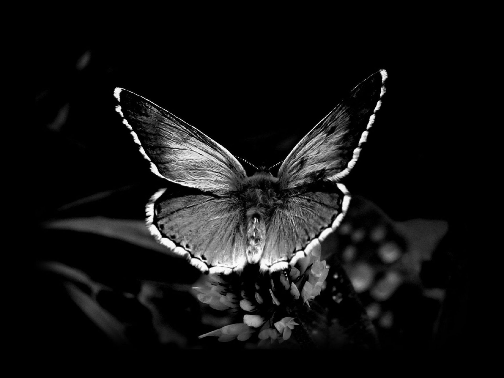 Black Butterfly Images