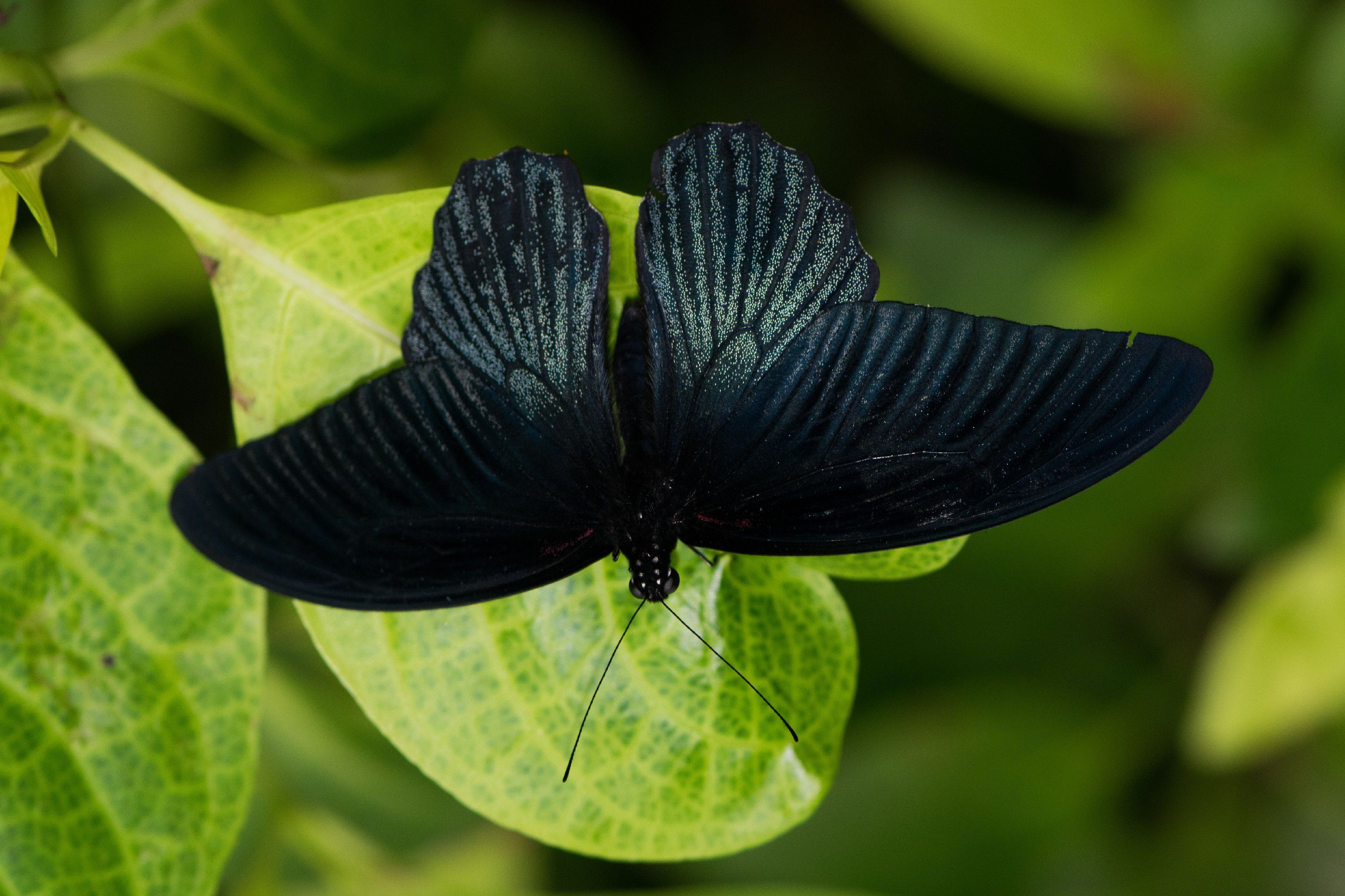 Black Butterfly Photos