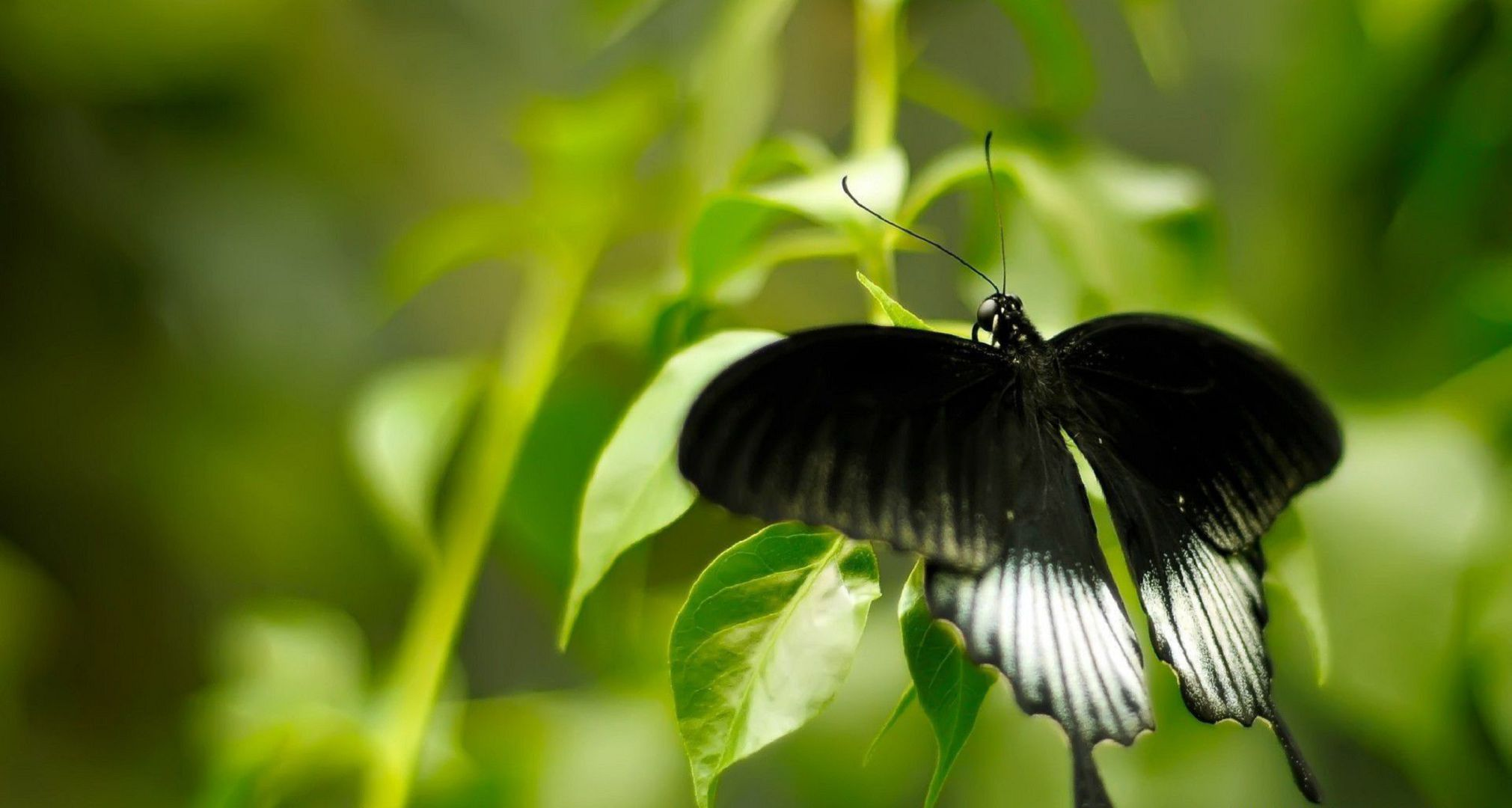 Black Butterfly In High Resolution