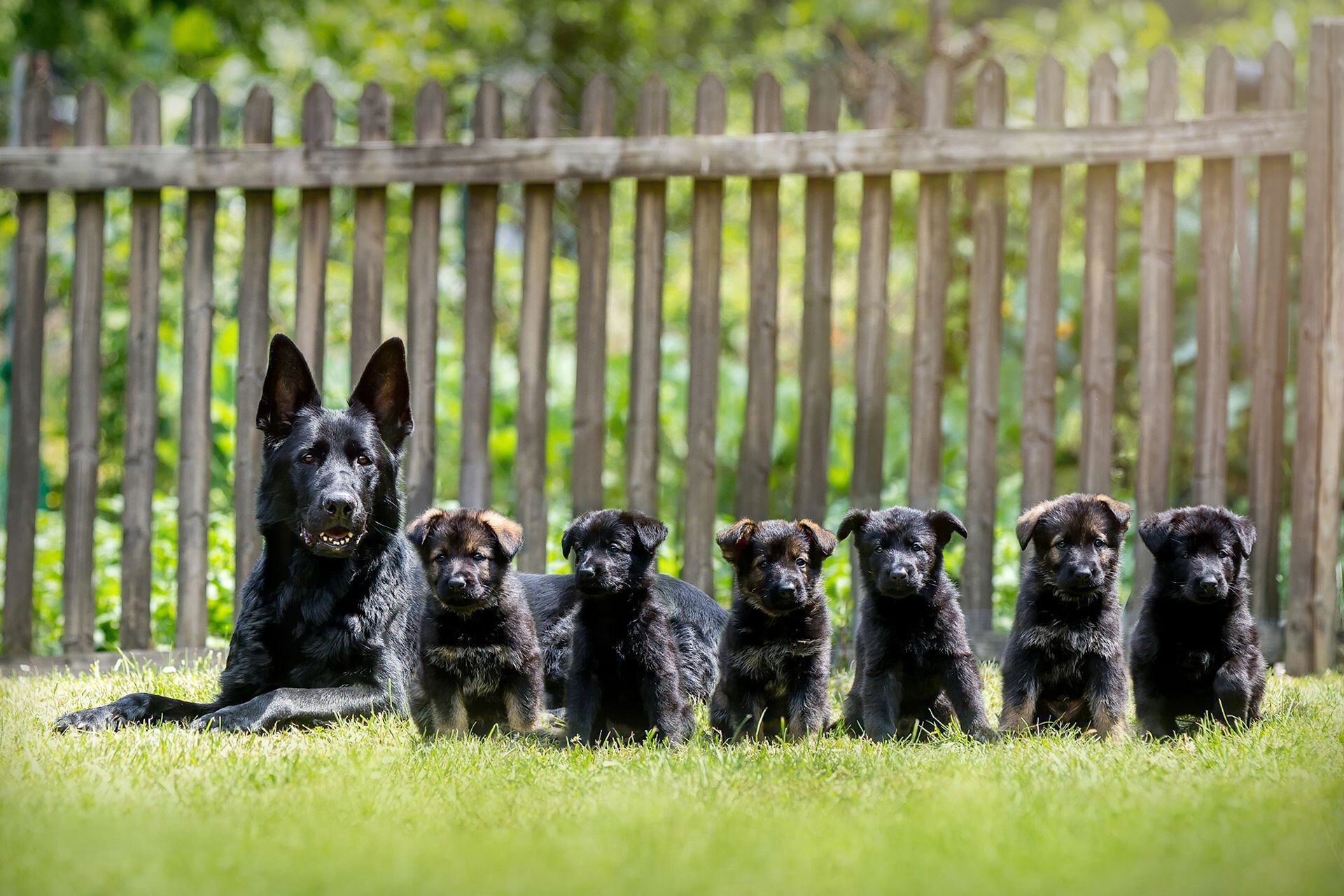 Black German Shepherd Background