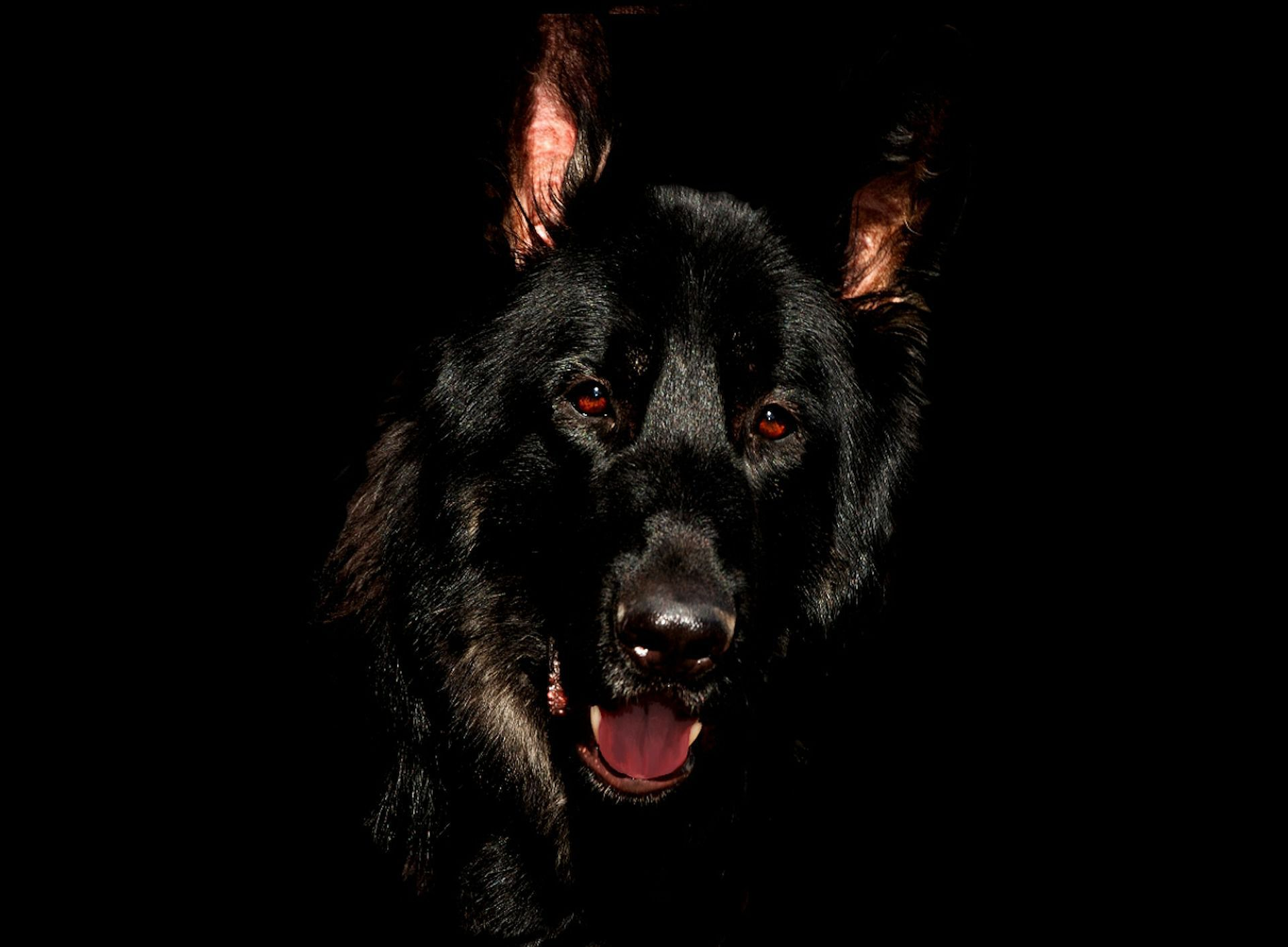 Black German Shepherd Gallery