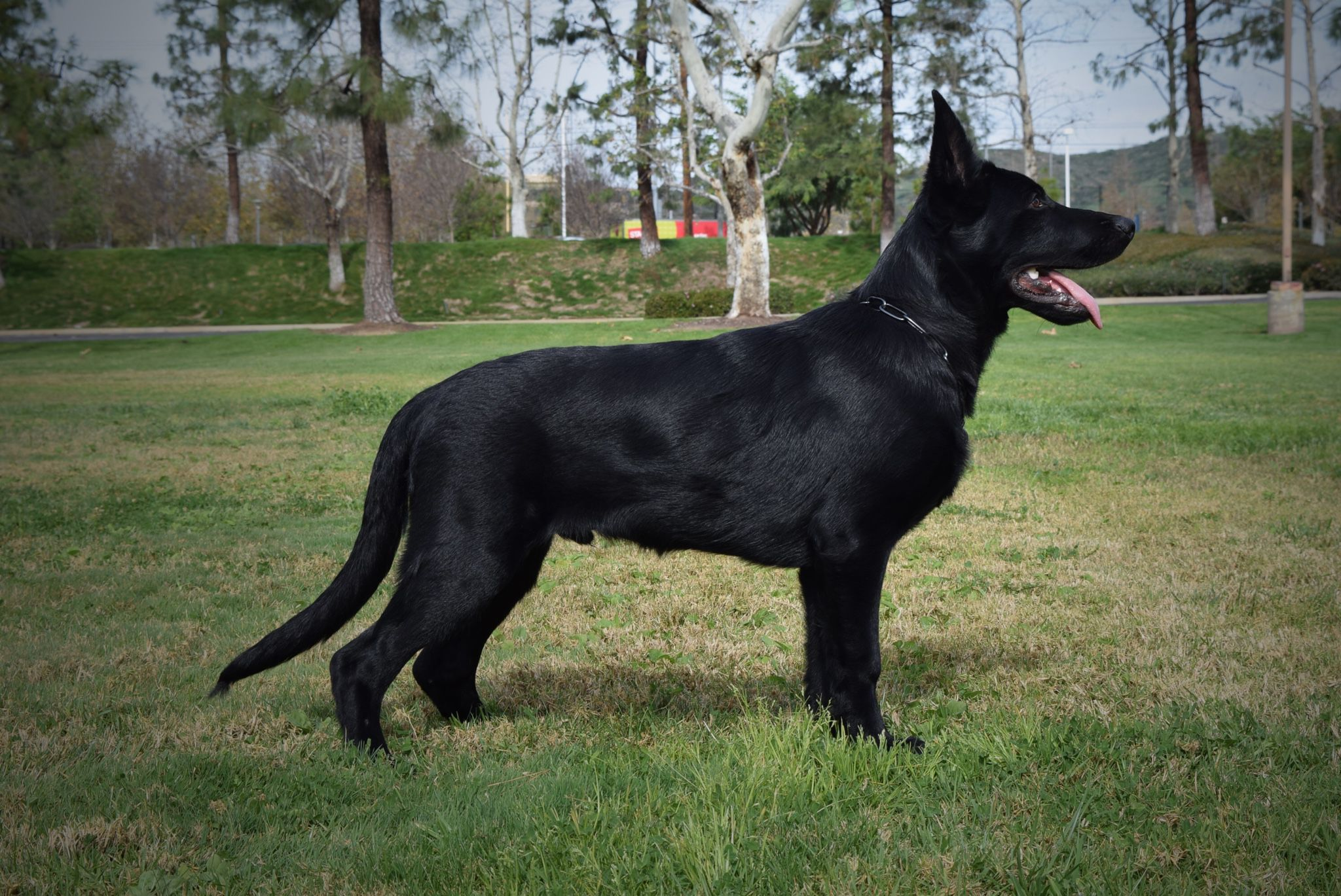 Black German Shepherd HD Background