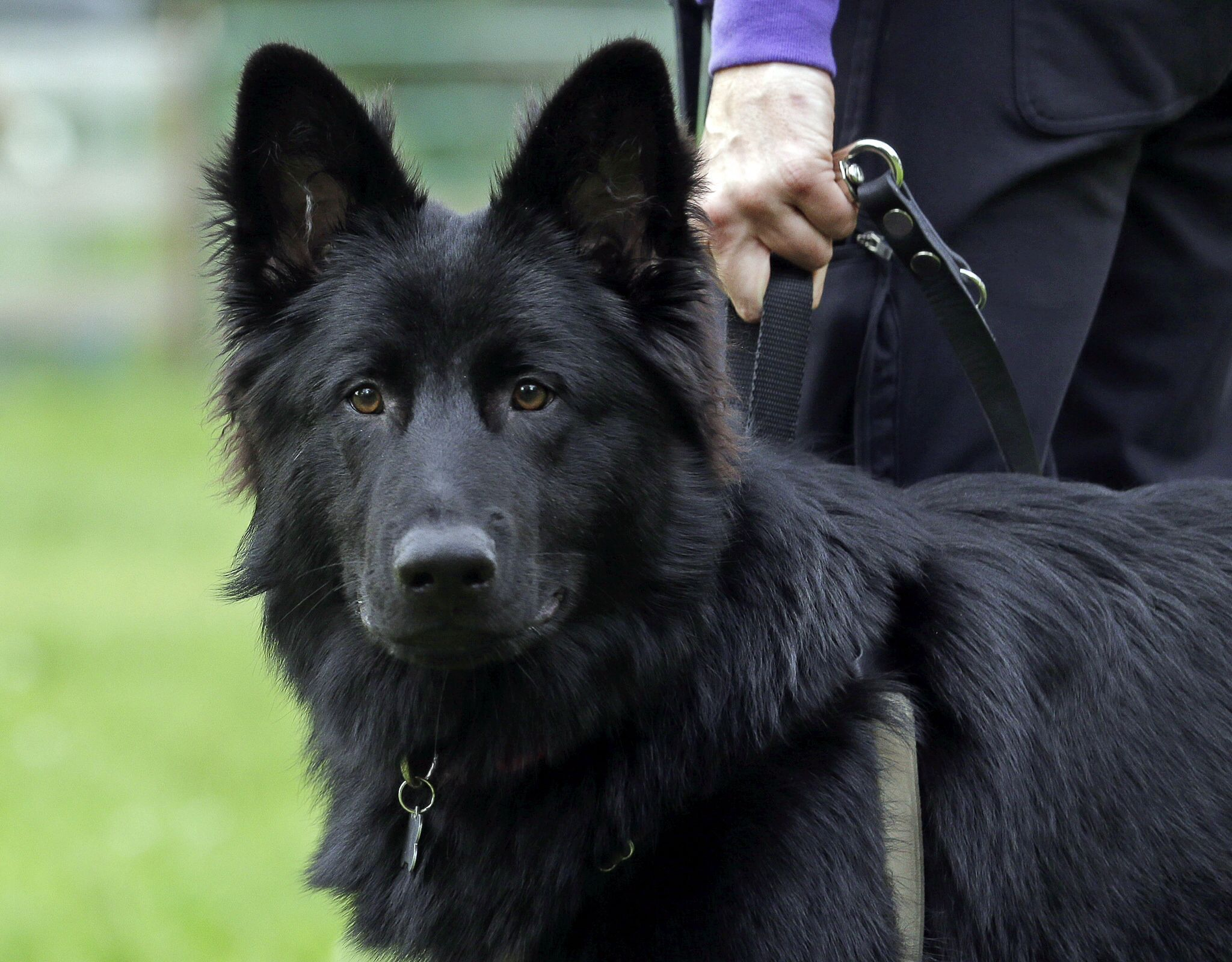 Black German Shepherd HD Wallpaper