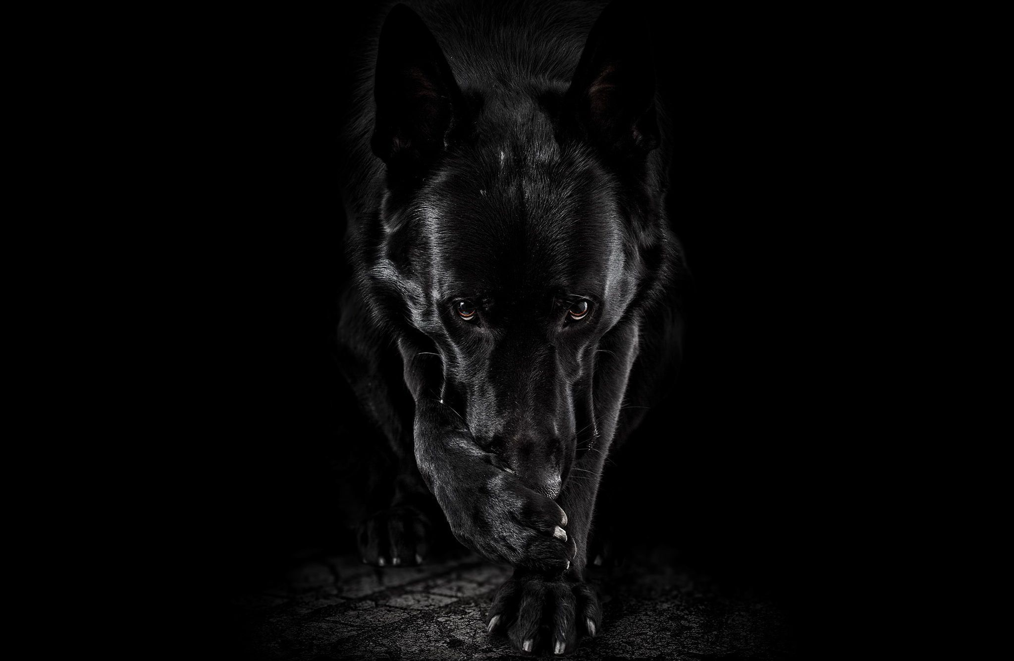 Black German Shepherd Wallpaper