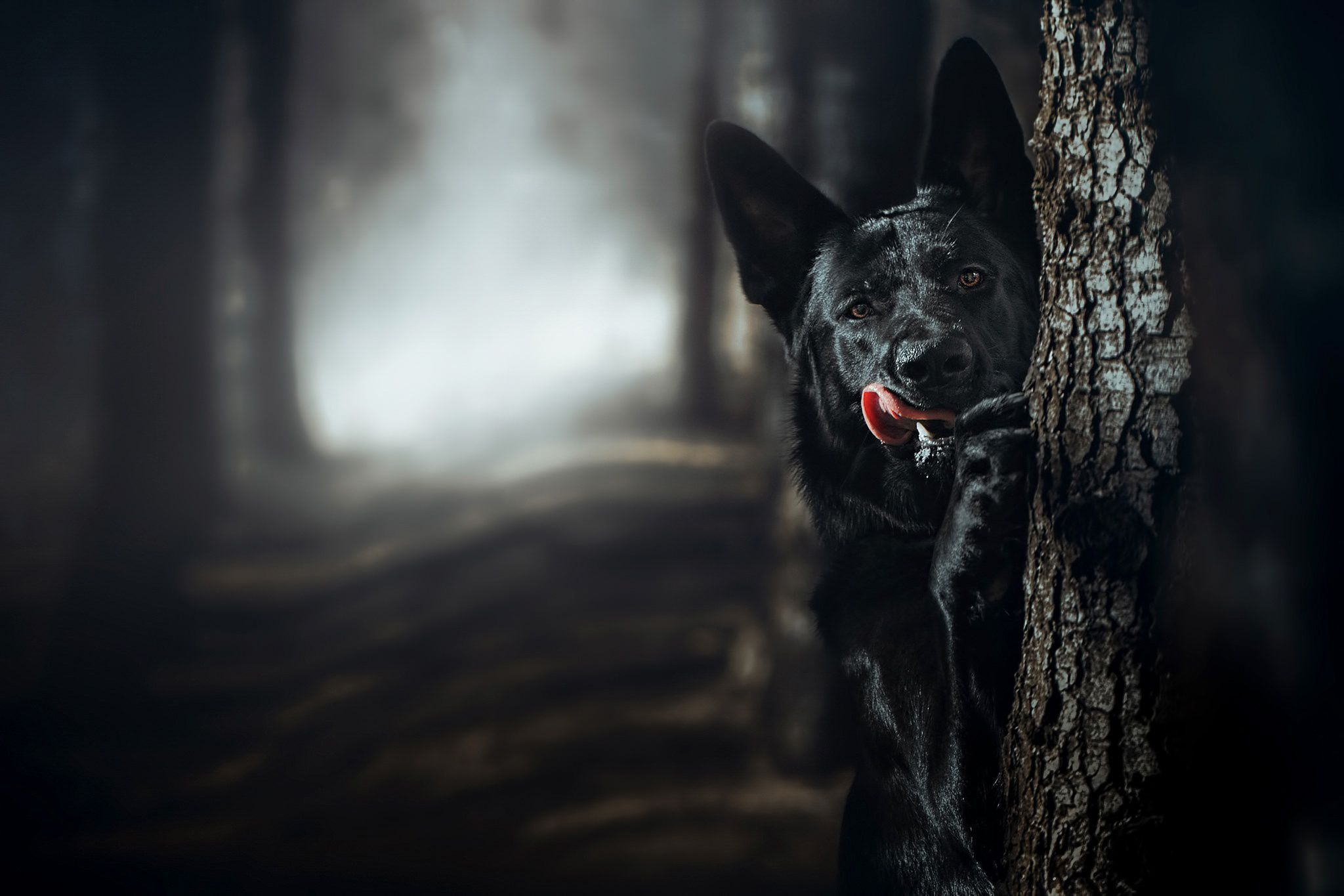 Black German Shepherd Wallpaper Pack