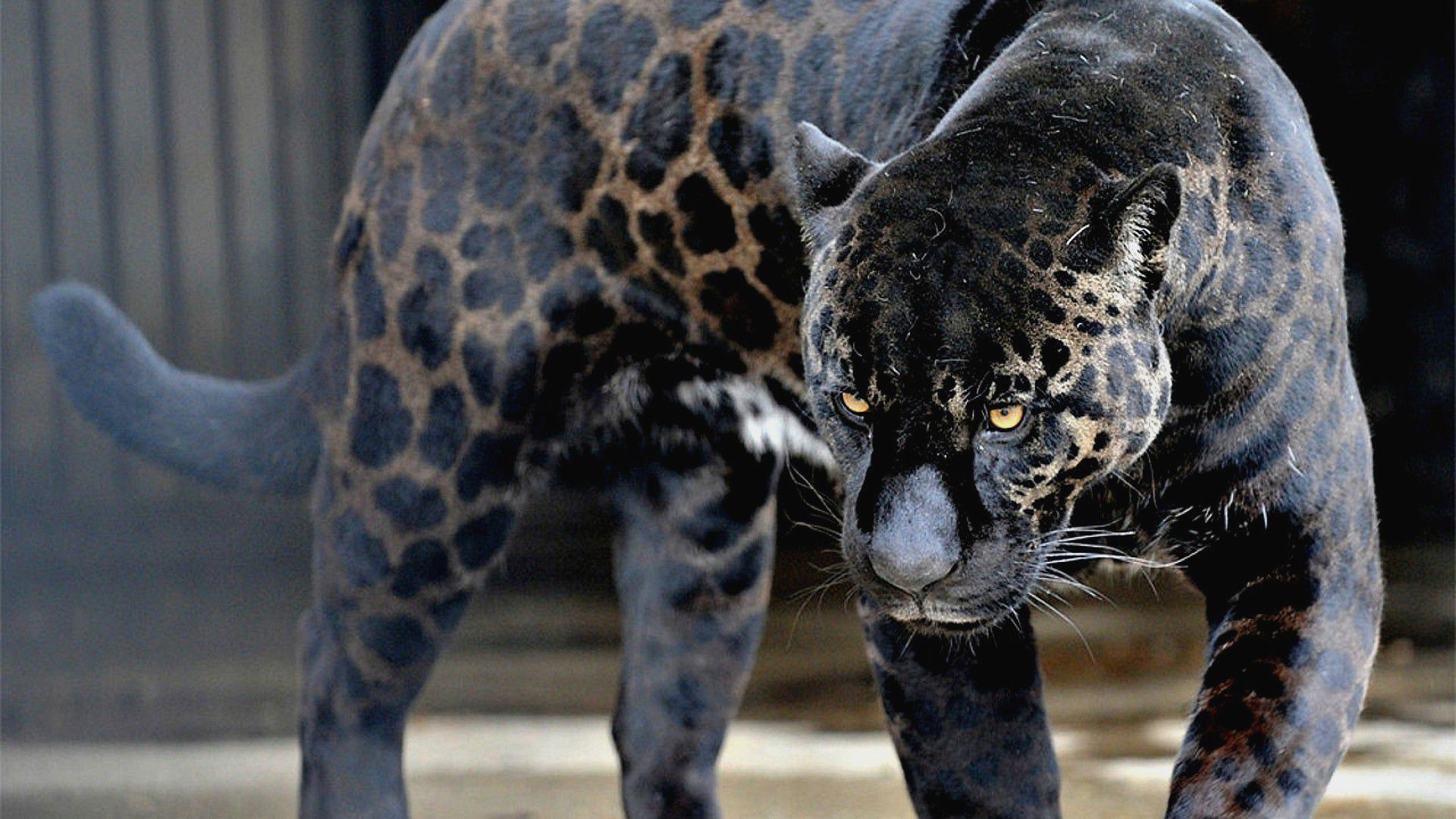 Black Jaguar Beautiful