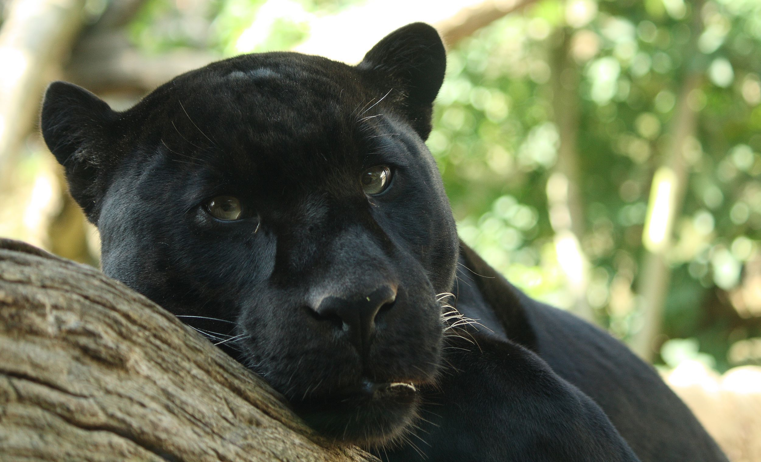 Black Jaguar Gallery