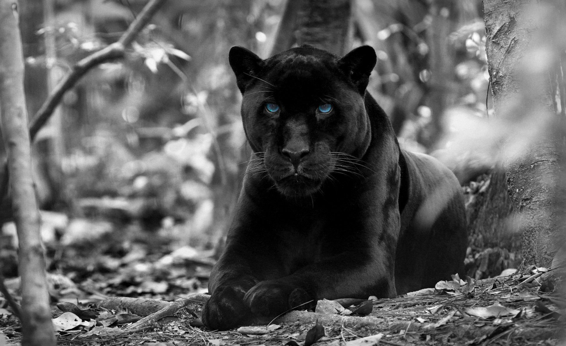 Black Jaguar High Definition Wallpapers