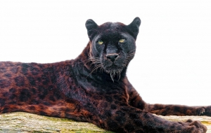 Black Jaguar Wallpapers HD