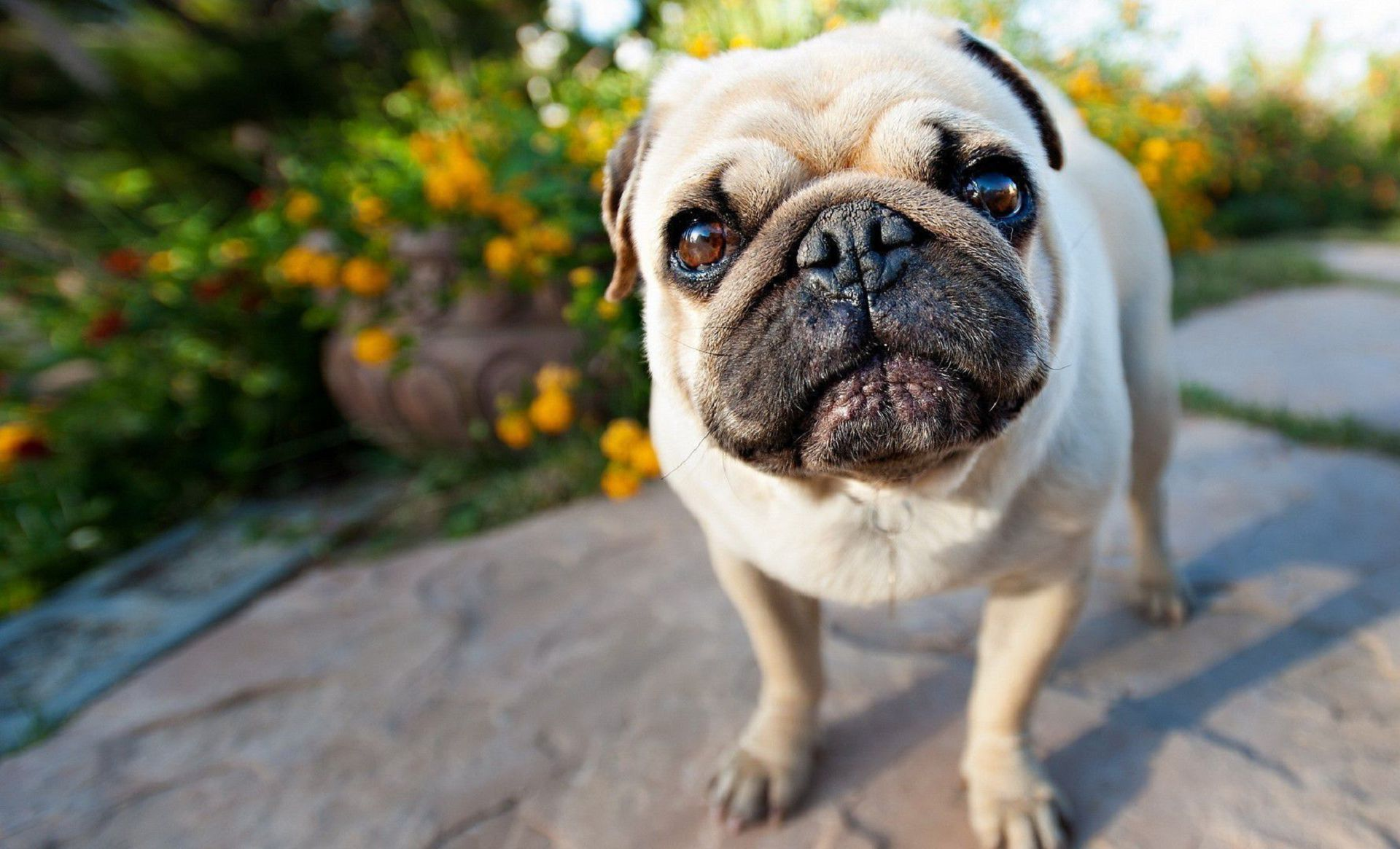 Black Pug High Definition Wallpapers