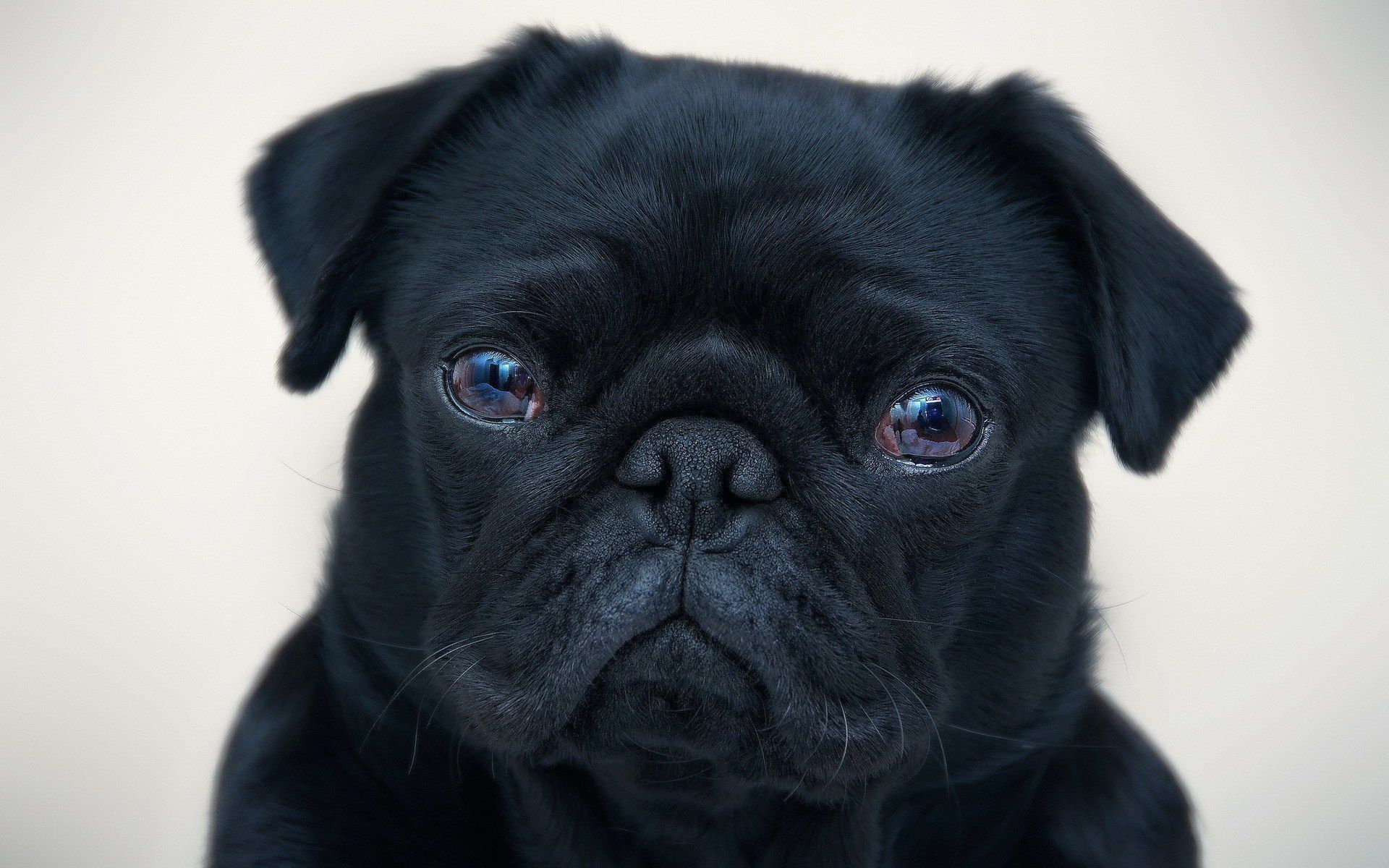 Black Pug Photos