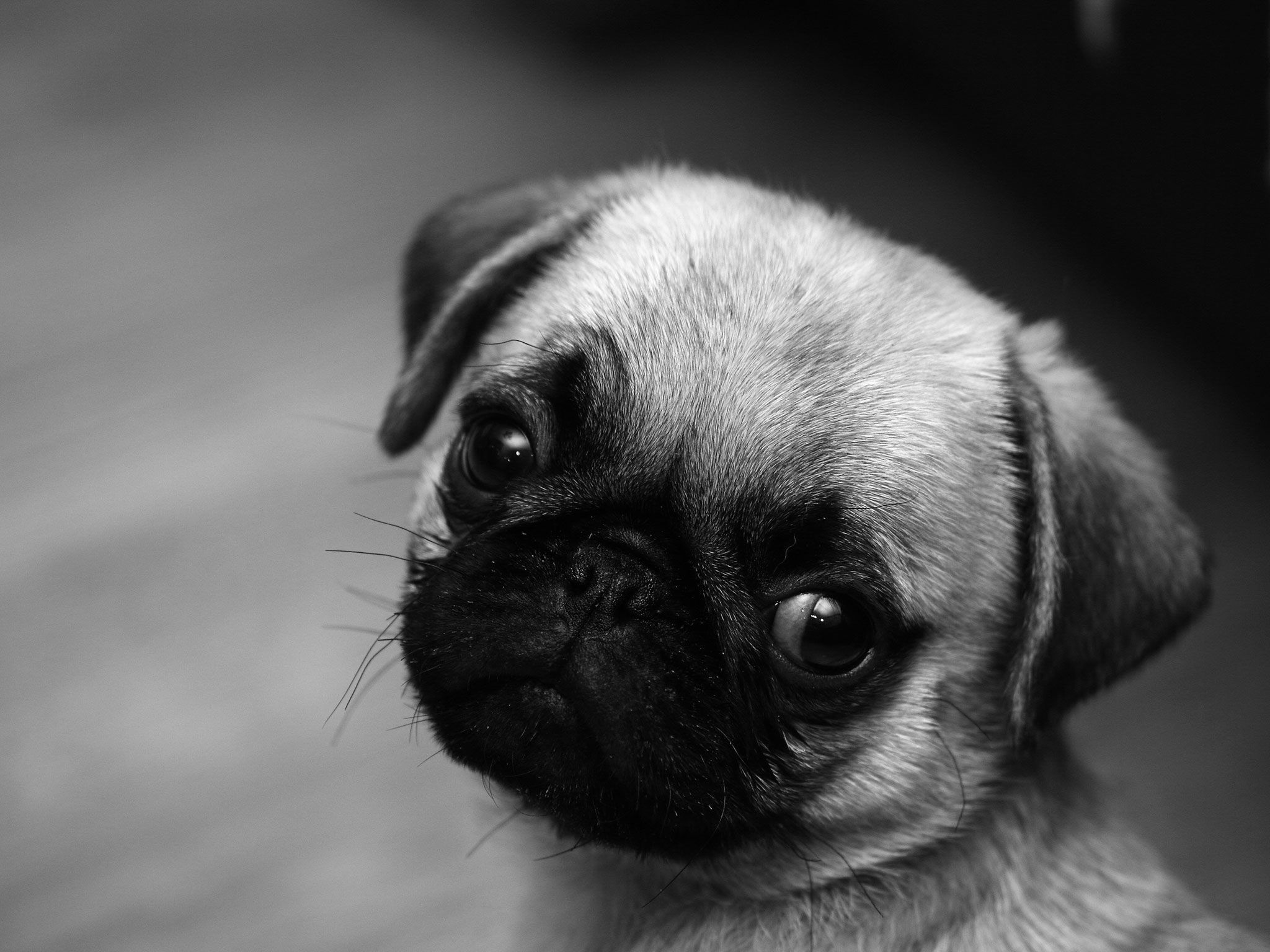 Black Pug Wallpapers