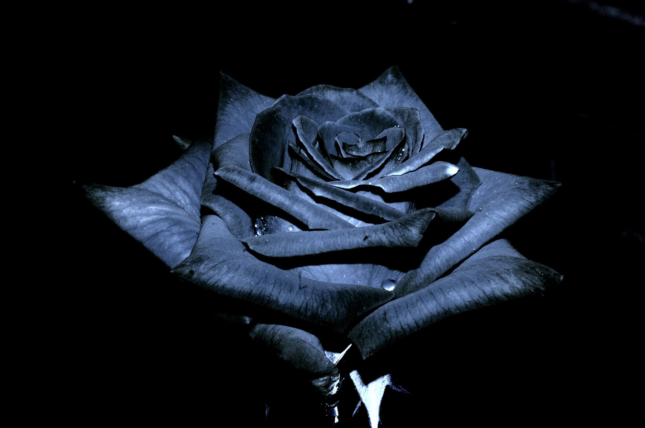 Black Rose High Quality Wallpapers