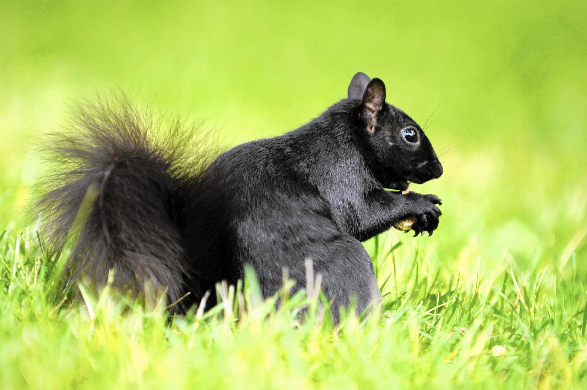 Black Squirrel Beautiful
