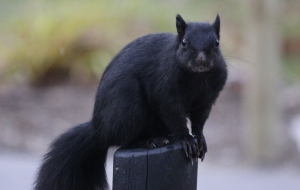 Black Squirrel Gallery