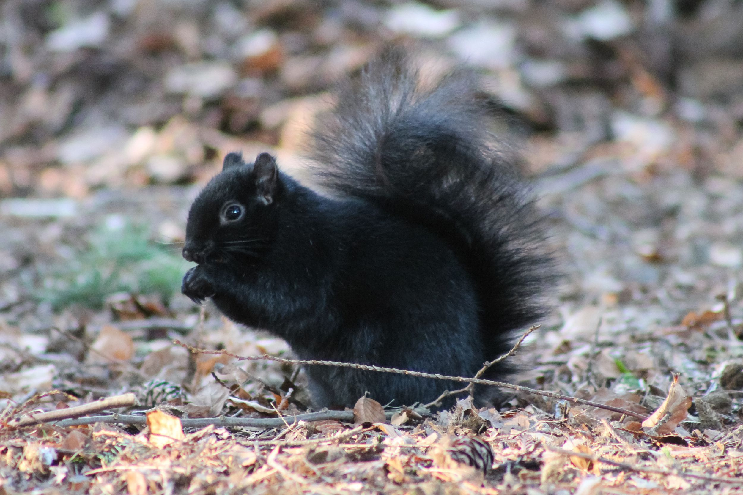Black Squirrel HD Wallpaper