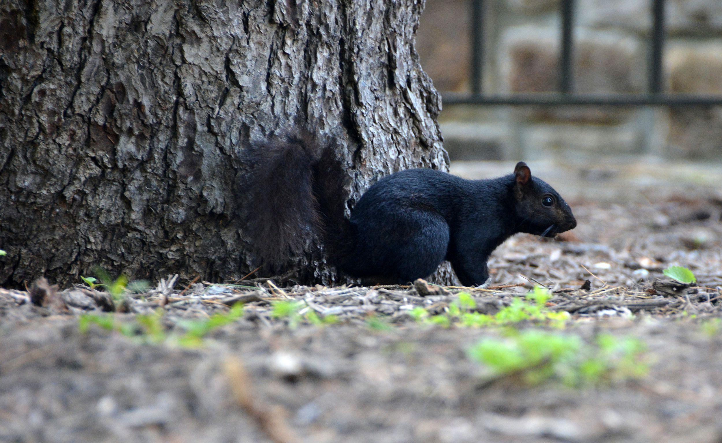 Black Squirrel High Definition Wallpapers