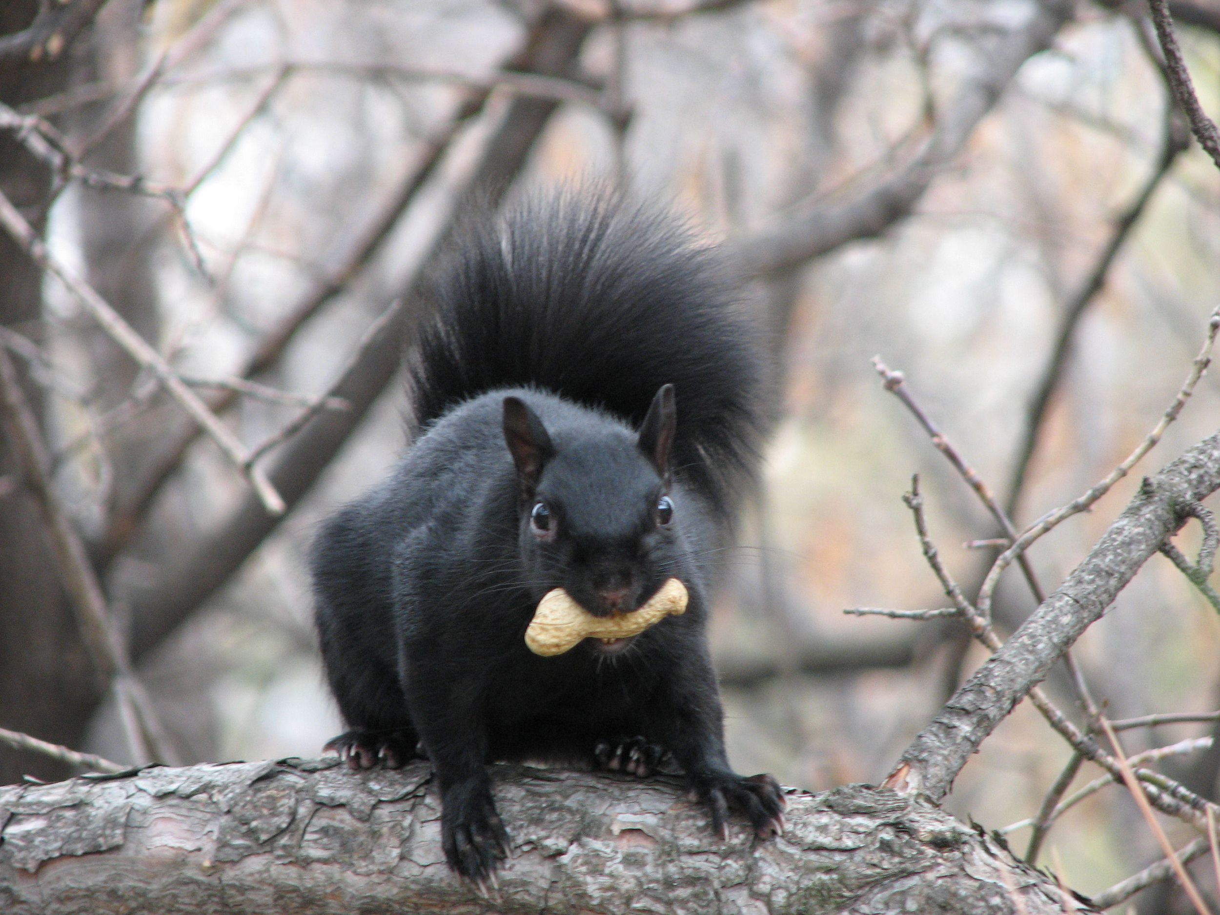 Black Squirrel Images