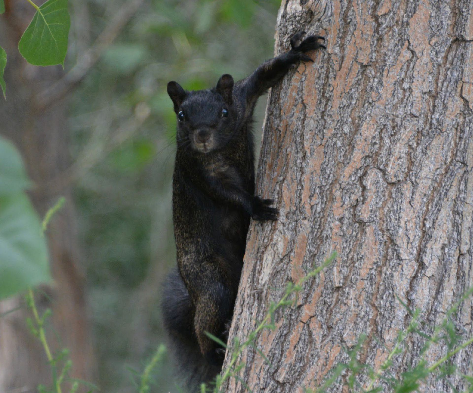 Black Squirrel Photos