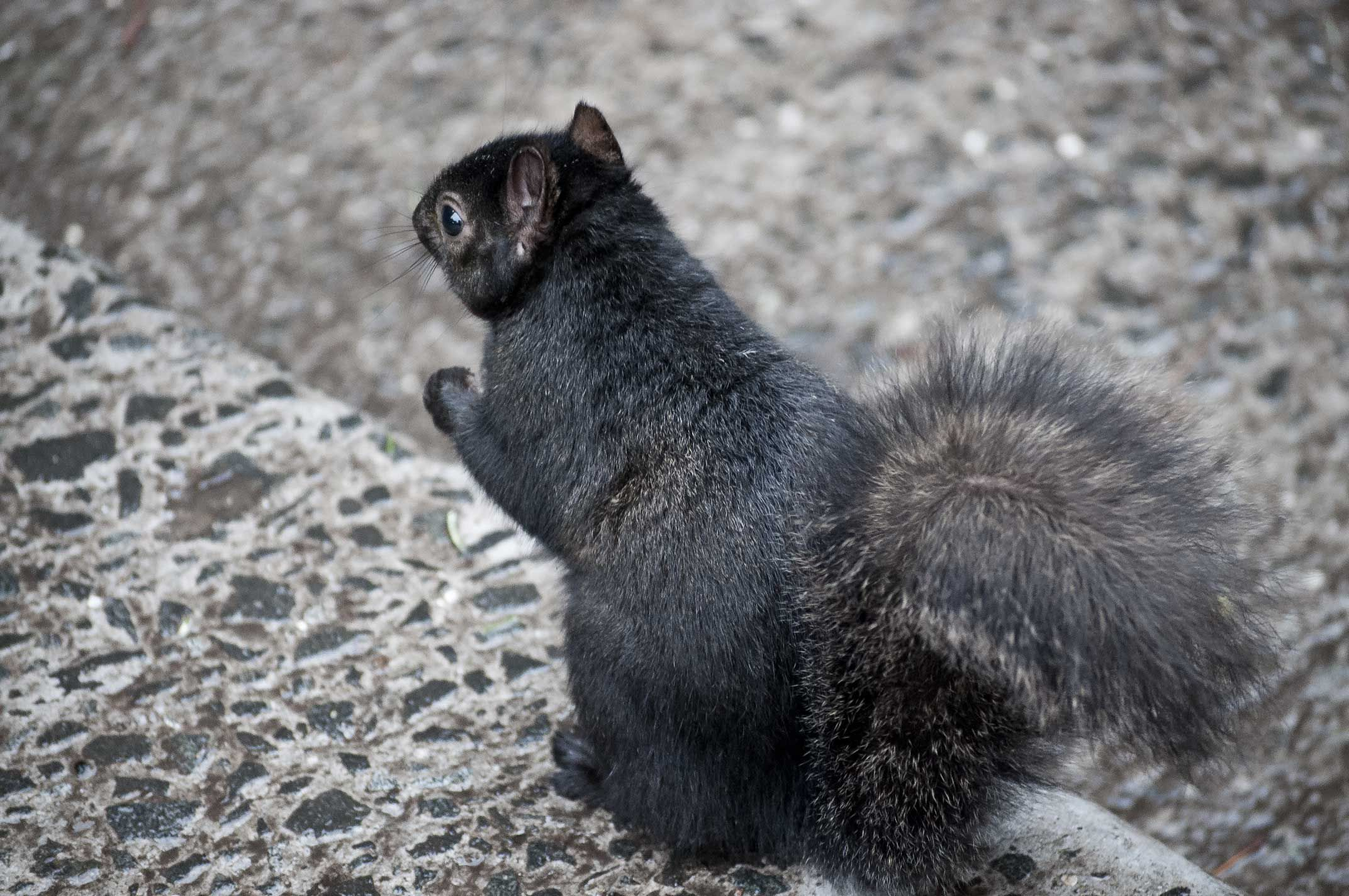 Black Squirrel Pictures