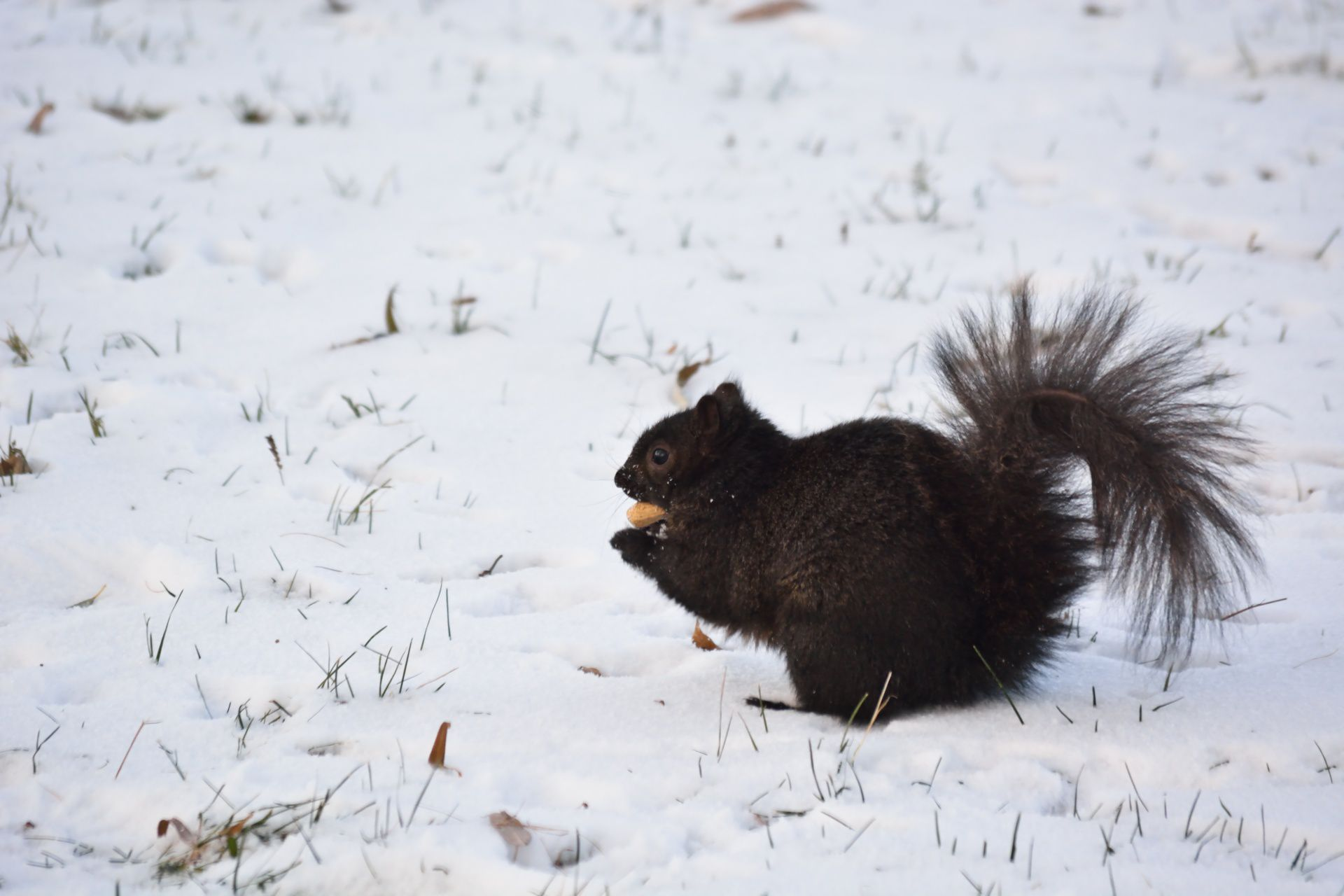 Black Squirrel Wallpaper
