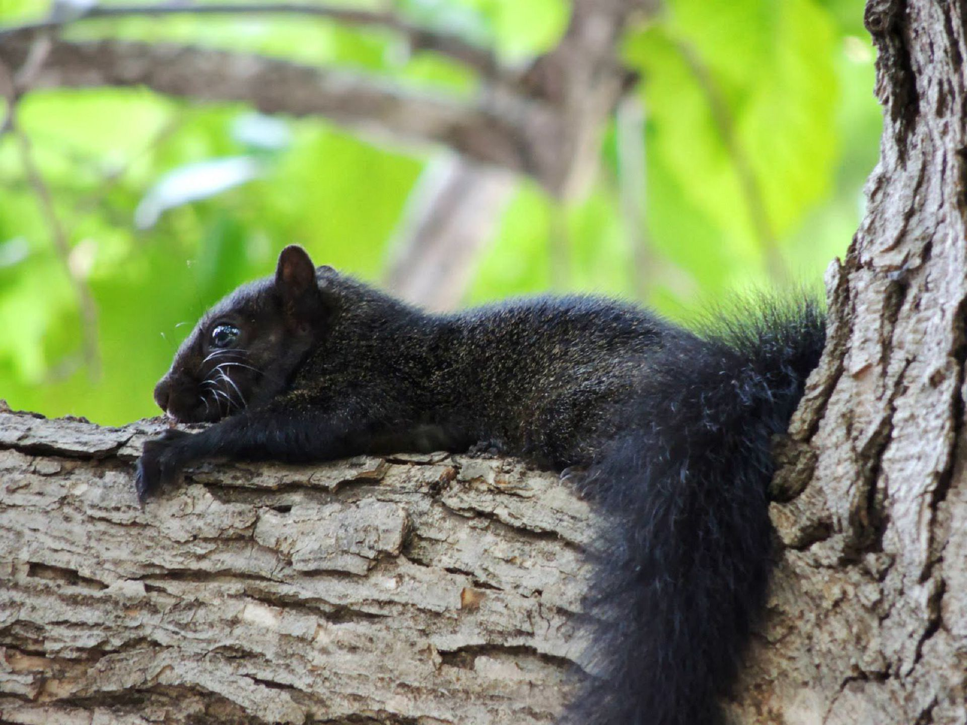 Black Squirrel Wallpapers HD