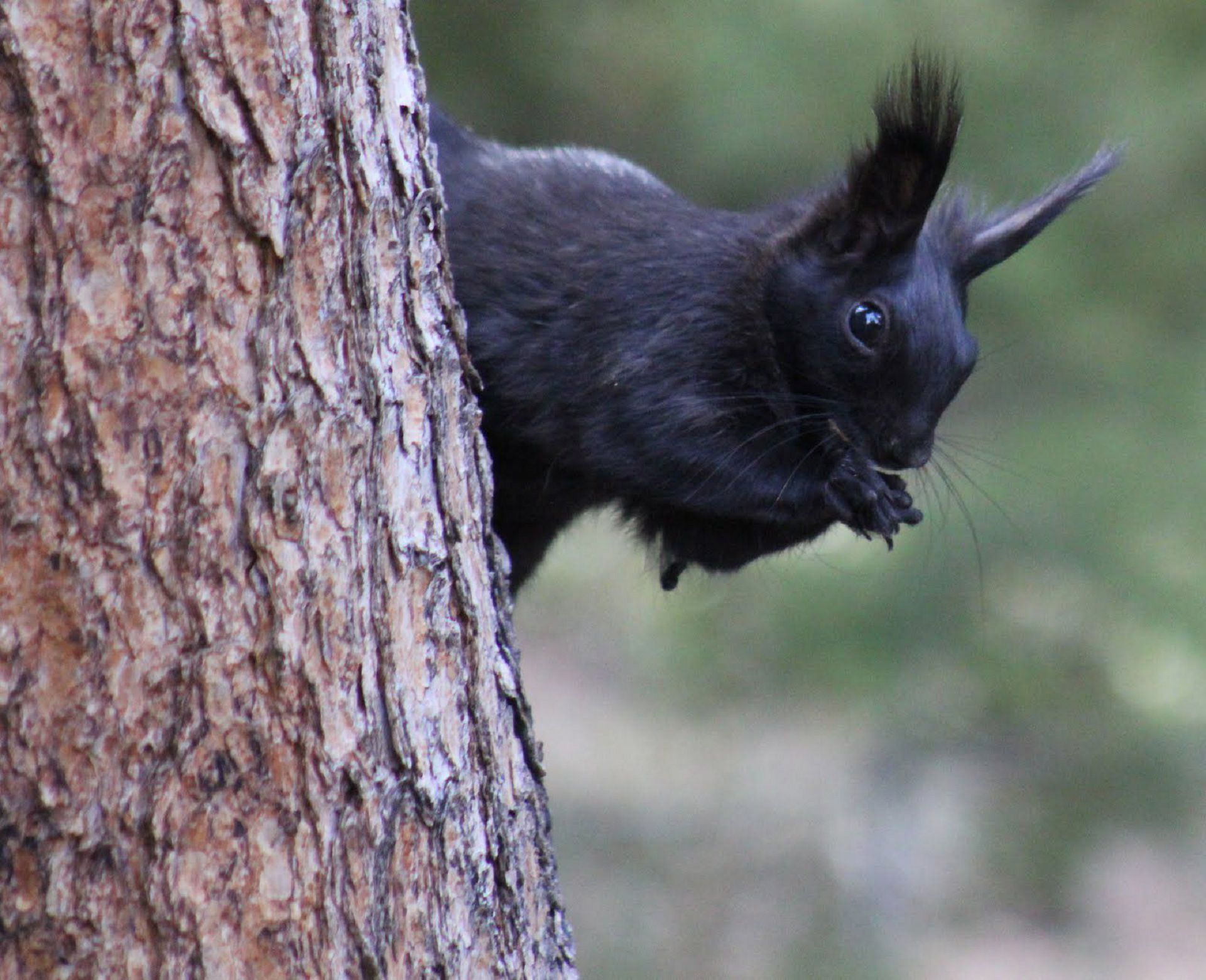 Black Squirrel Widescreen