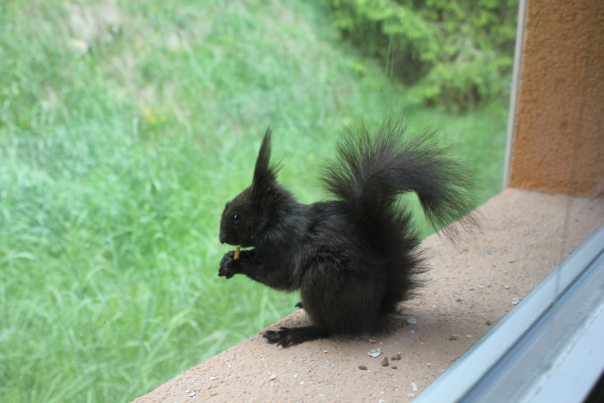 Black Squirrel In High Resolution