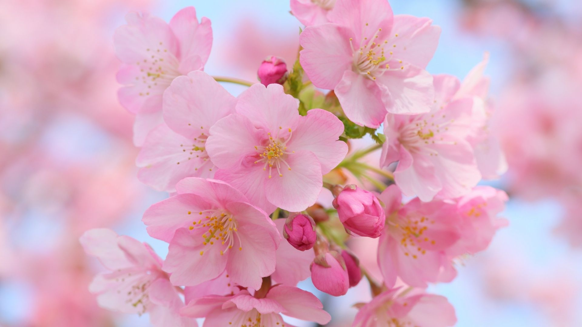 Blossoms Background