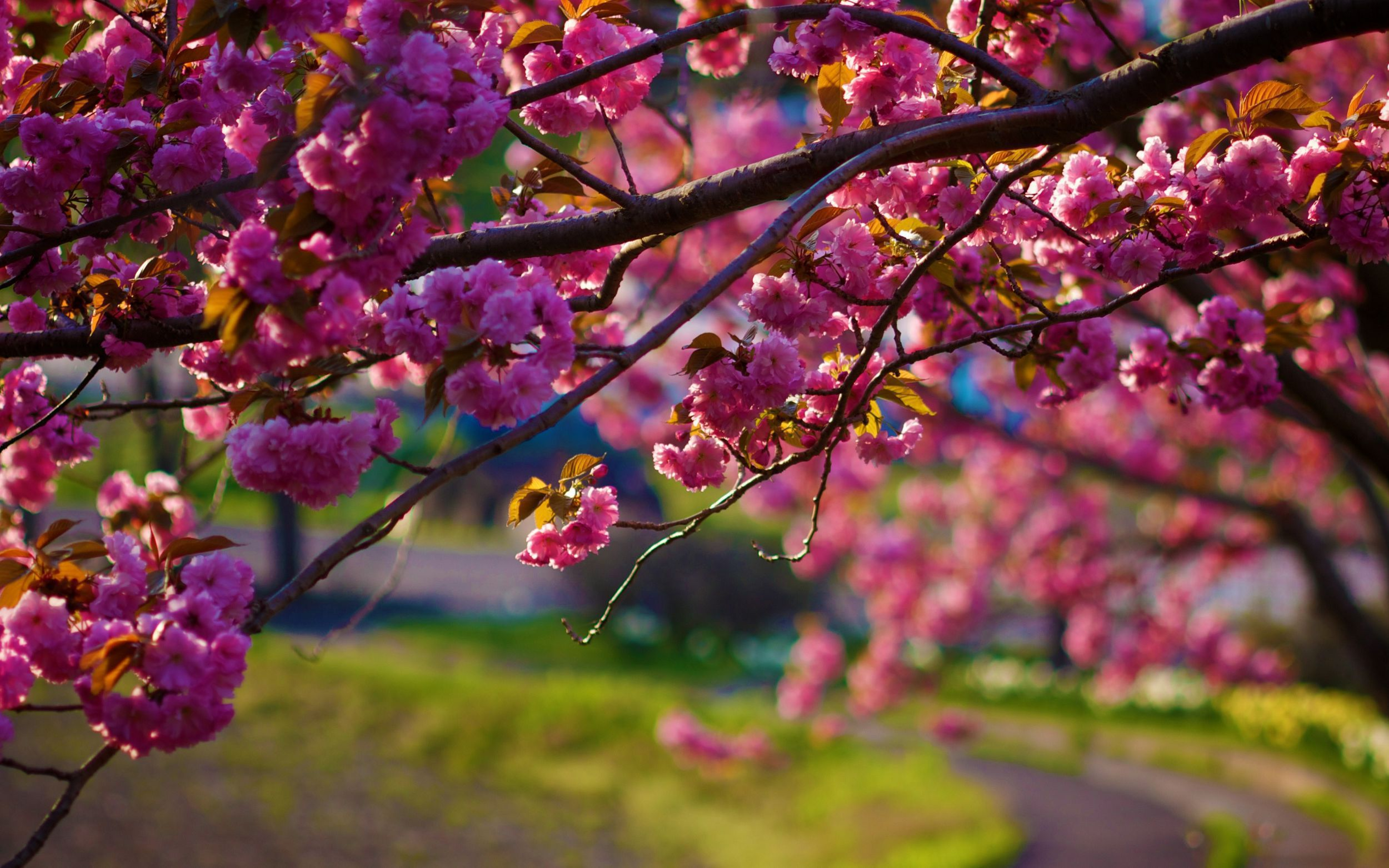 Blossoms High Definition Wallpapers
