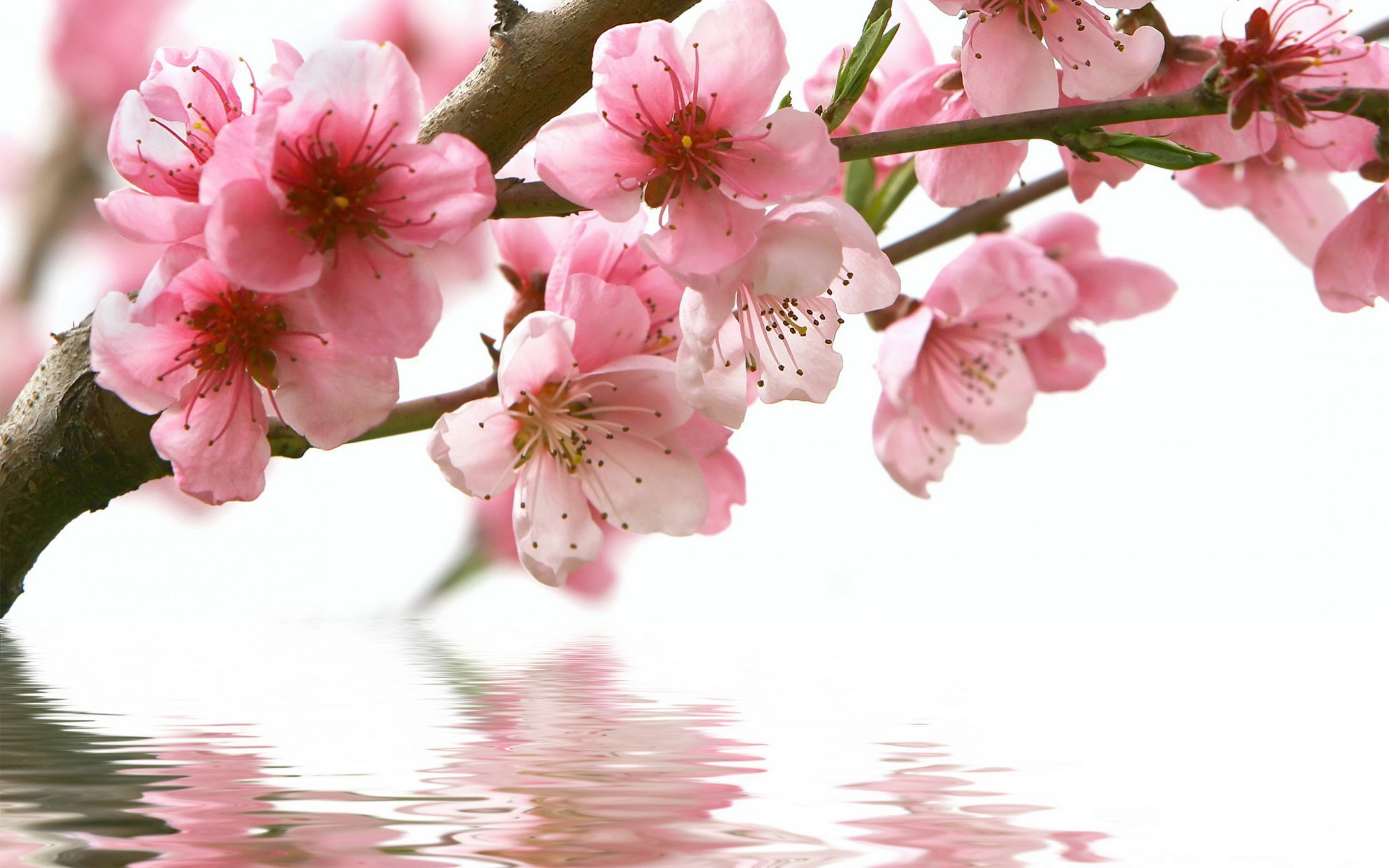 Blossoms High Quality Wallpapers