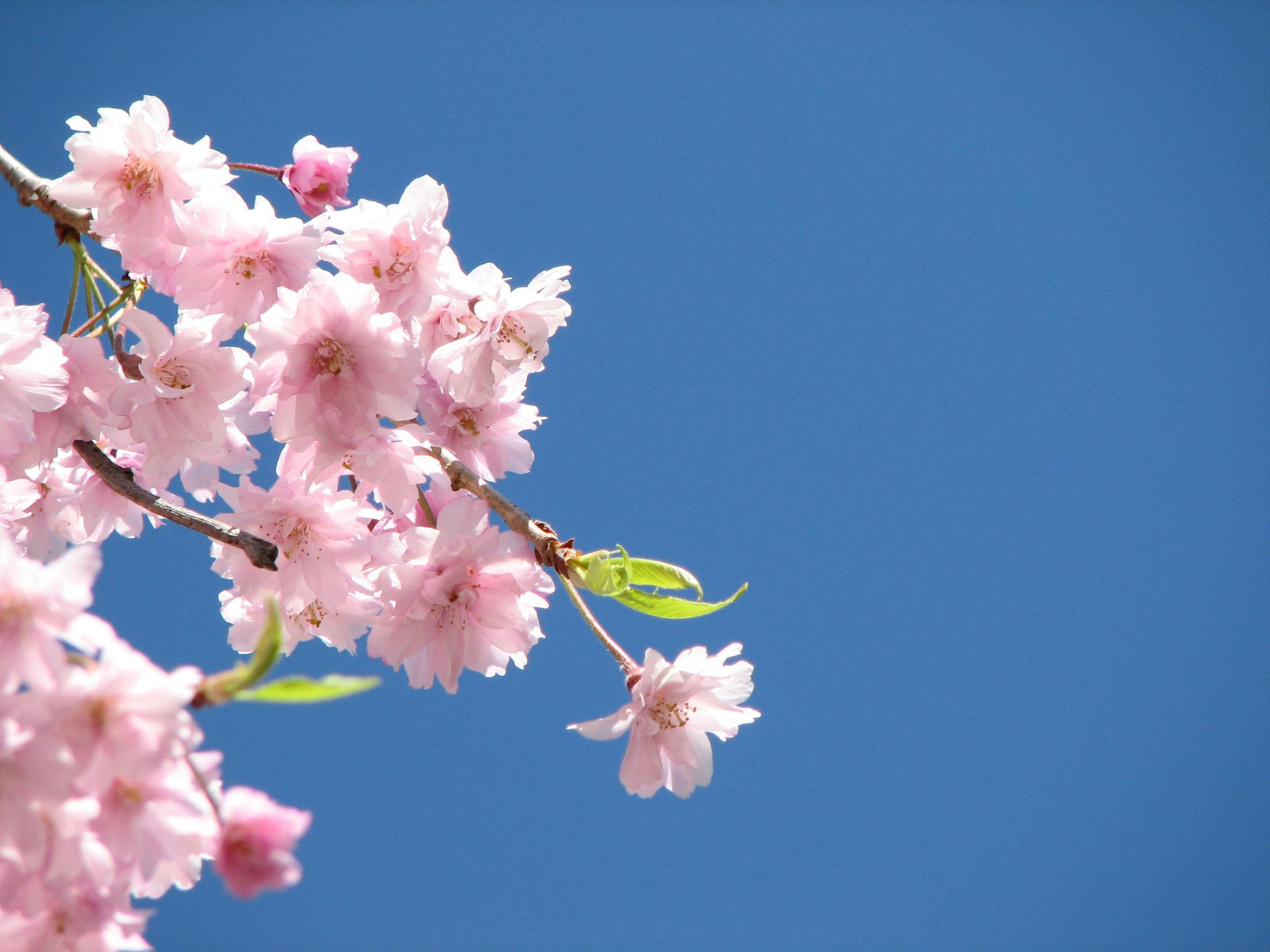 Blossoms Wallpapers HD