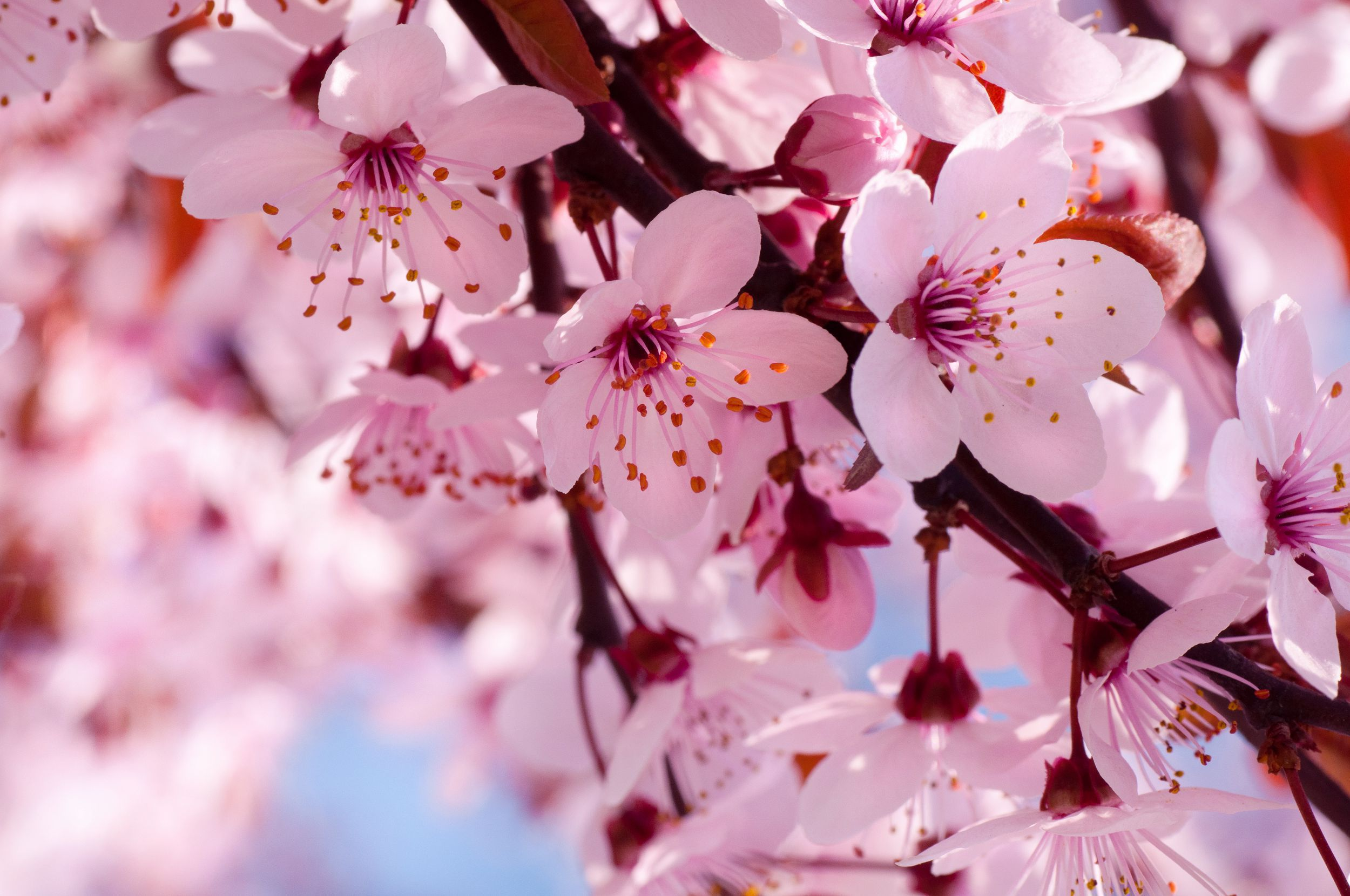 Blossoms Widescreen