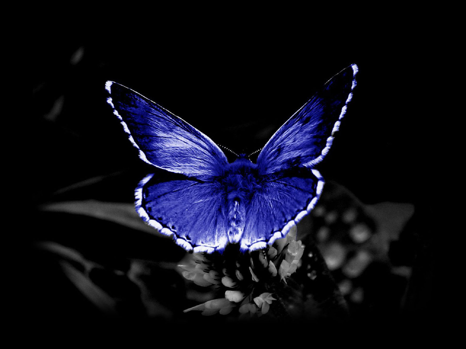 Blue Butterfly Wallpapers HD