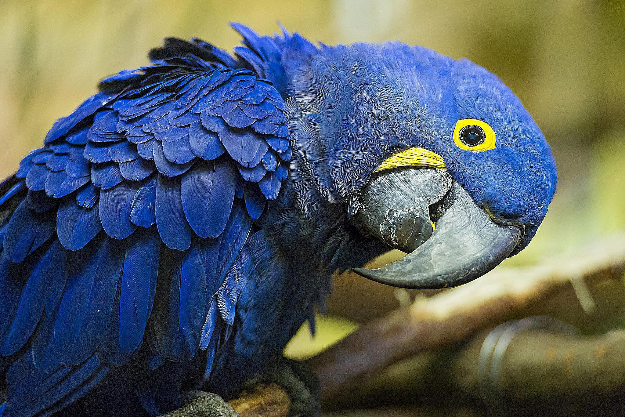 Blue Parrot Computer Wallpaper