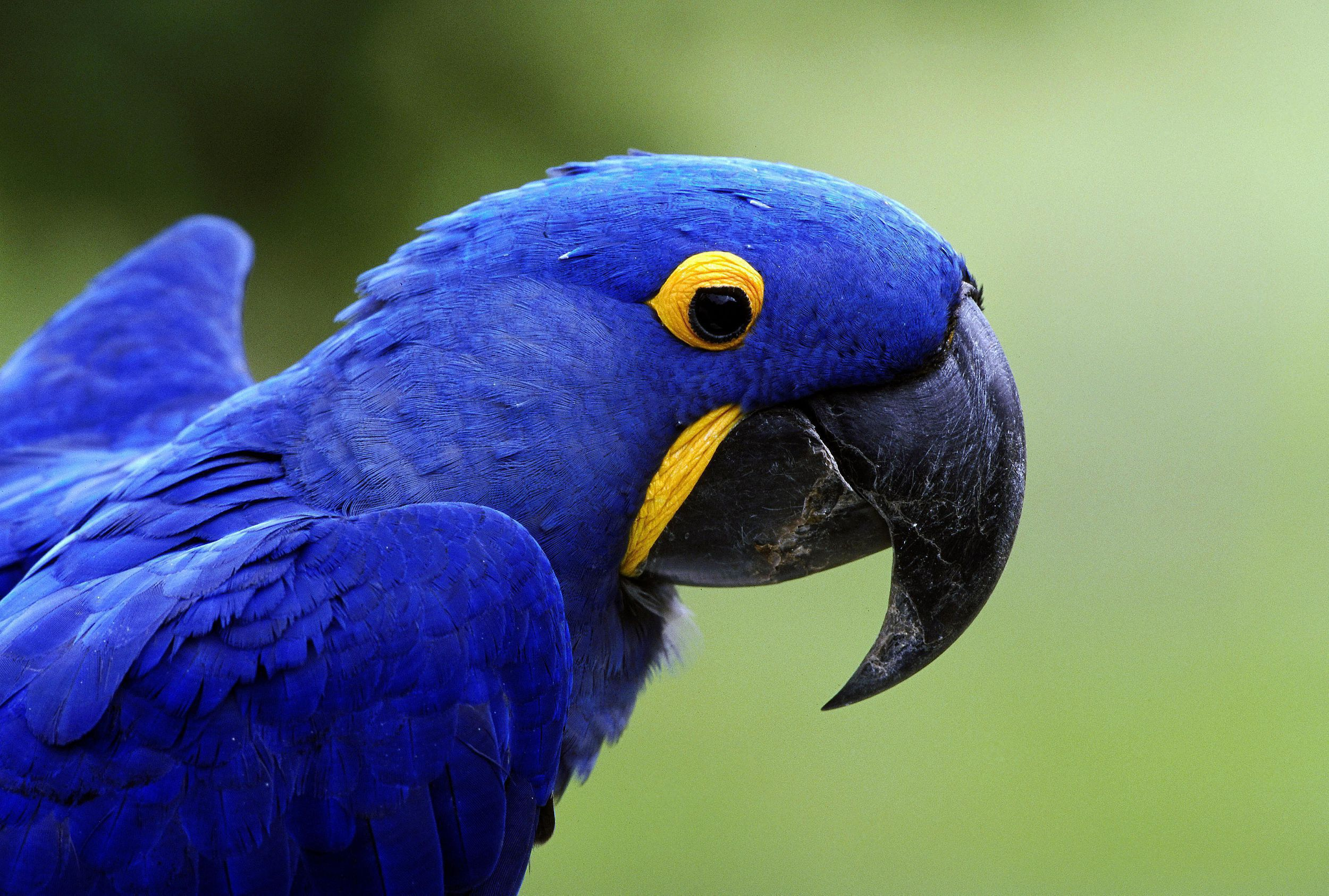 Blue Parrot HD Wallpaper