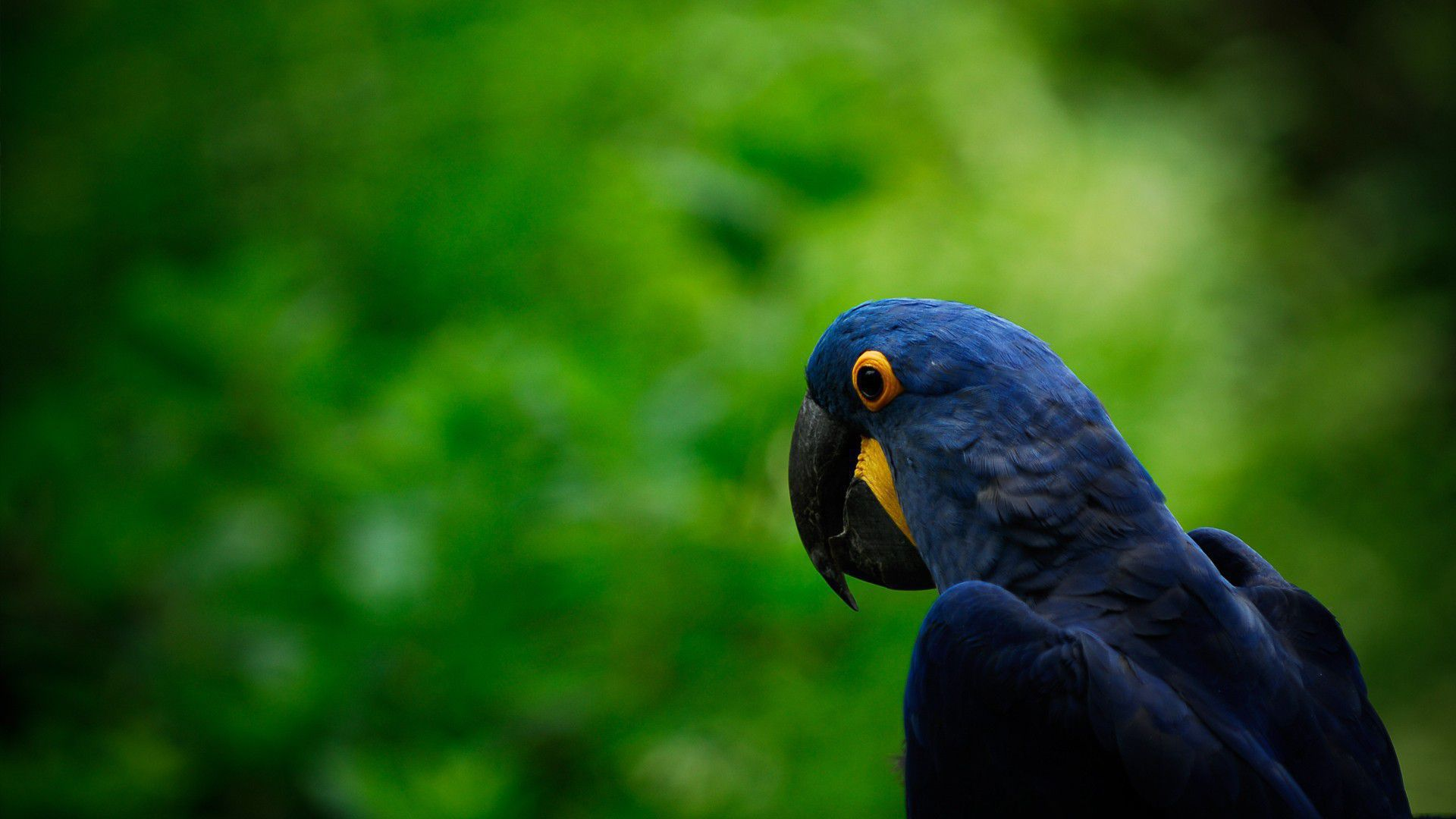 Blue Parrot High Definition Wallpapers