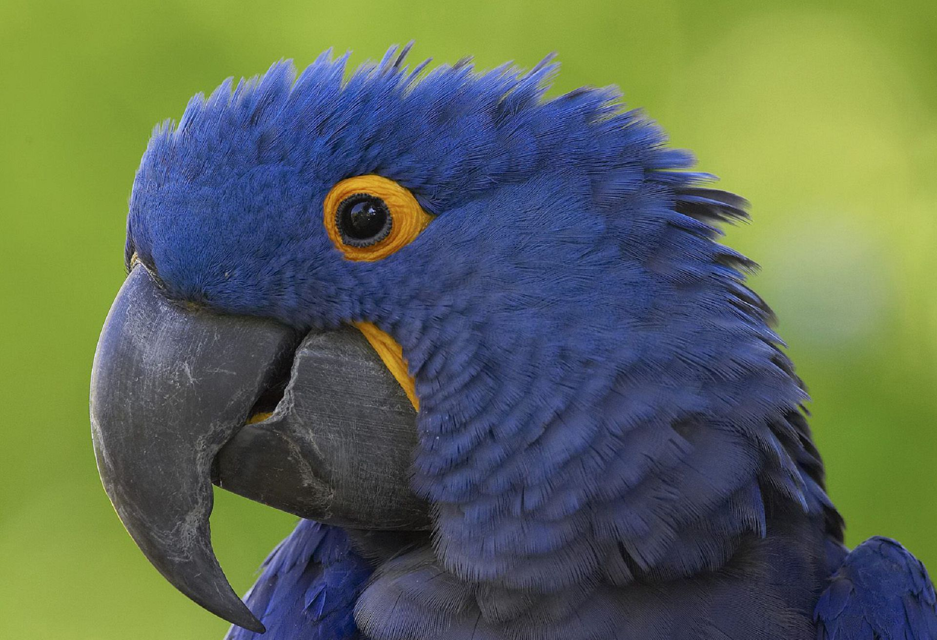 Blue Parrot High Quality Wallpapers