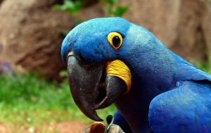 Blue Parrot Wallpapers