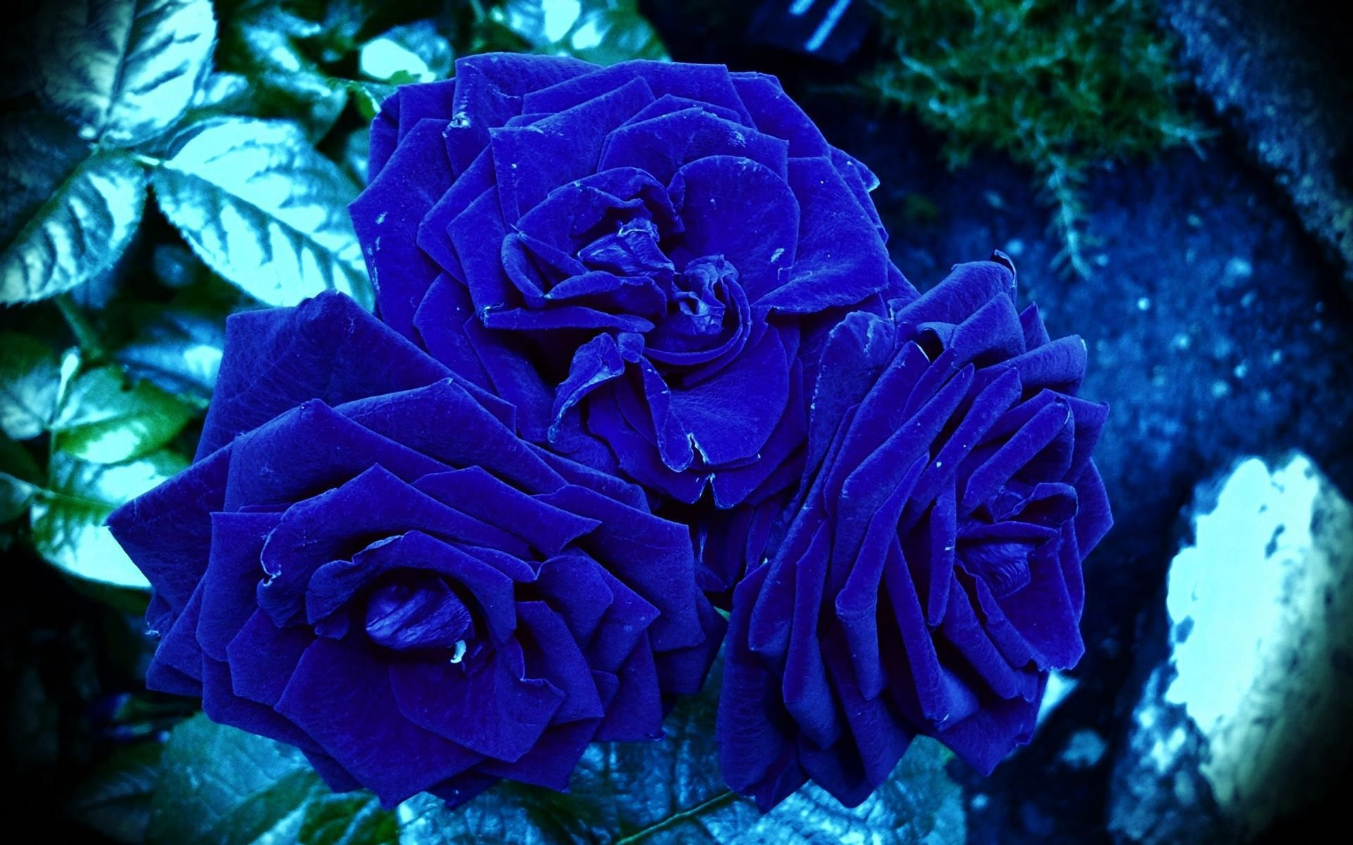 Blue Roses Beautiful
