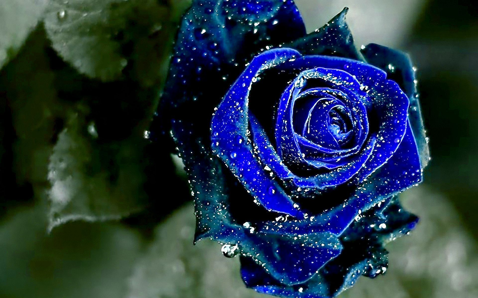 Blue Roses HD Wallpaper