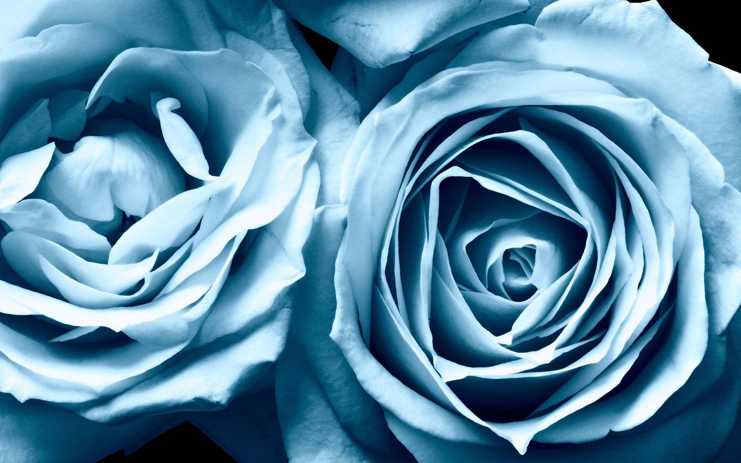 Blue Roses For Desktop