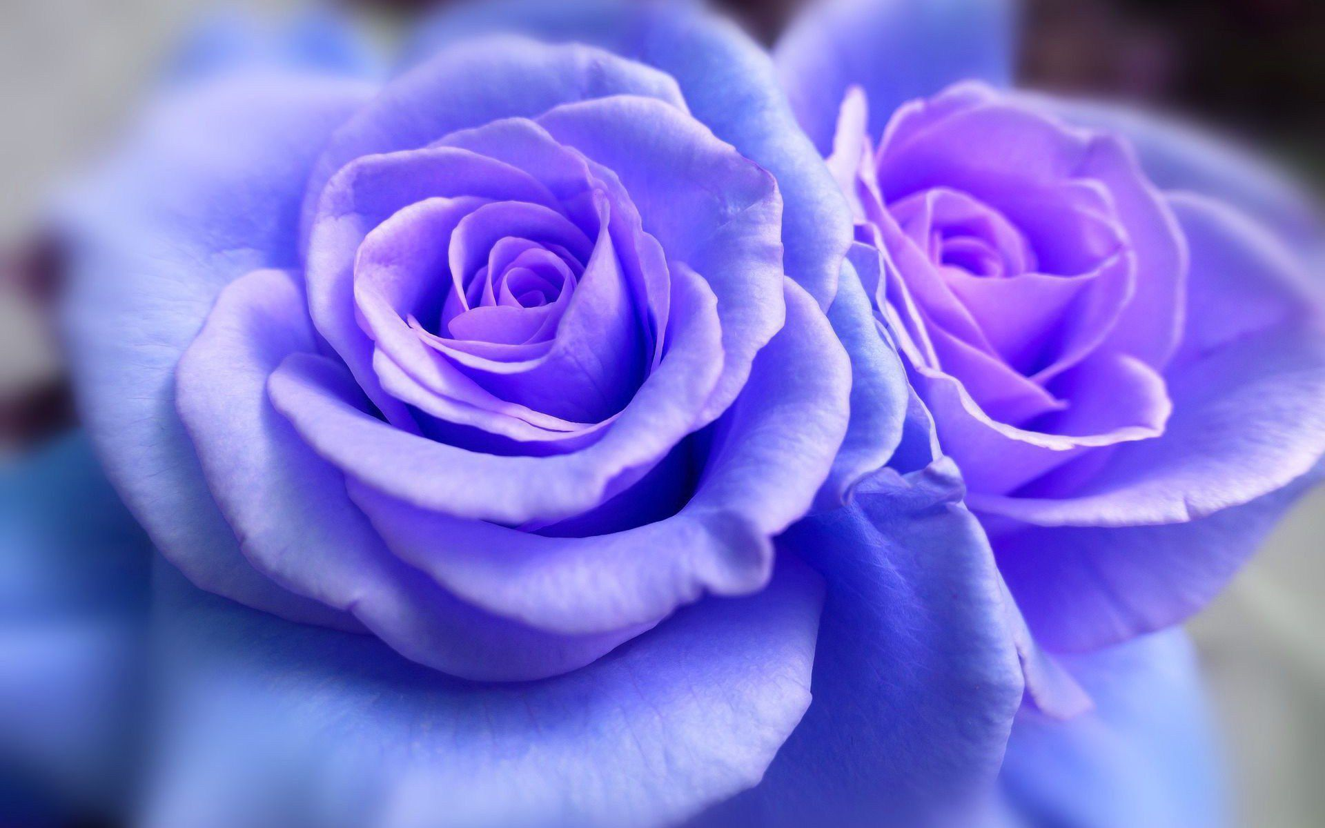 Blue Roses Wallpaper Pack