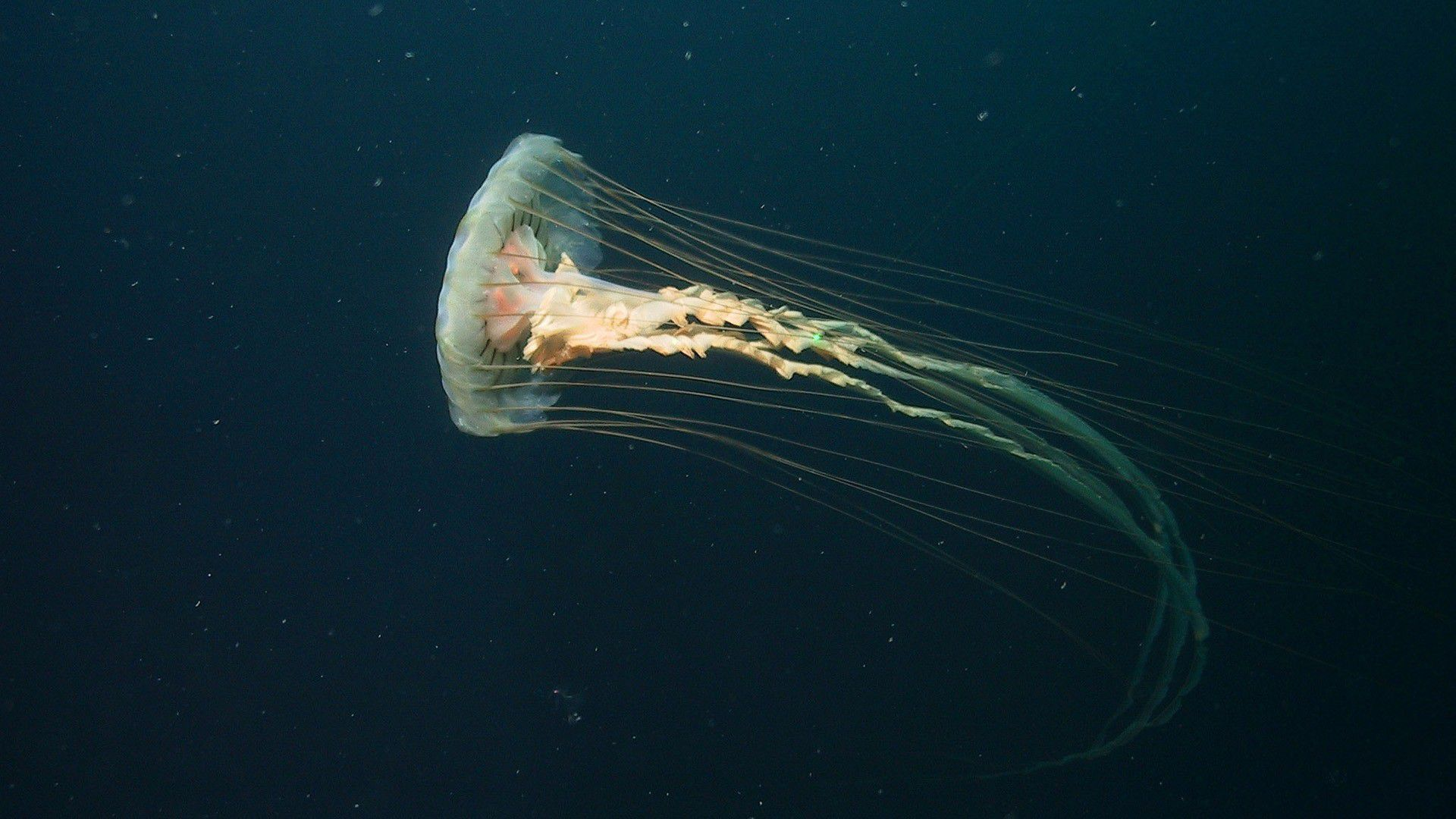 Box Jellyfish Widescreen