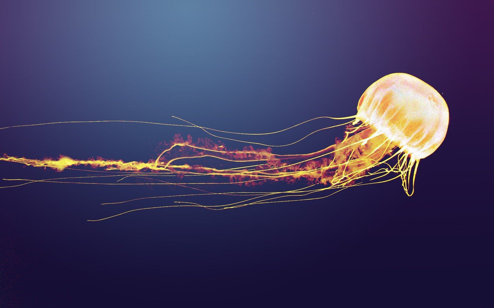 Box Jellyfish For Desktop