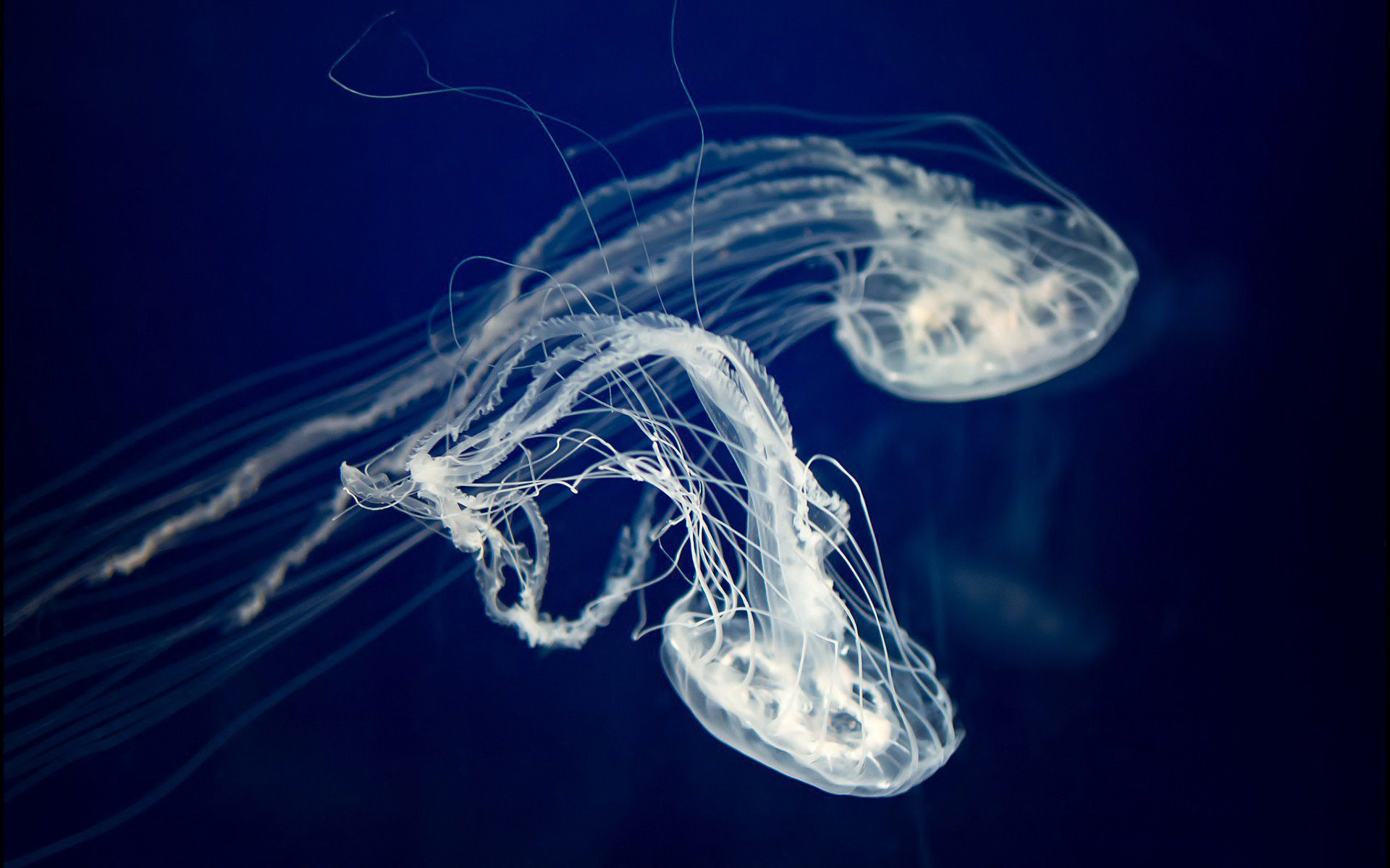 Box Jellyfish Wallpaper Pack